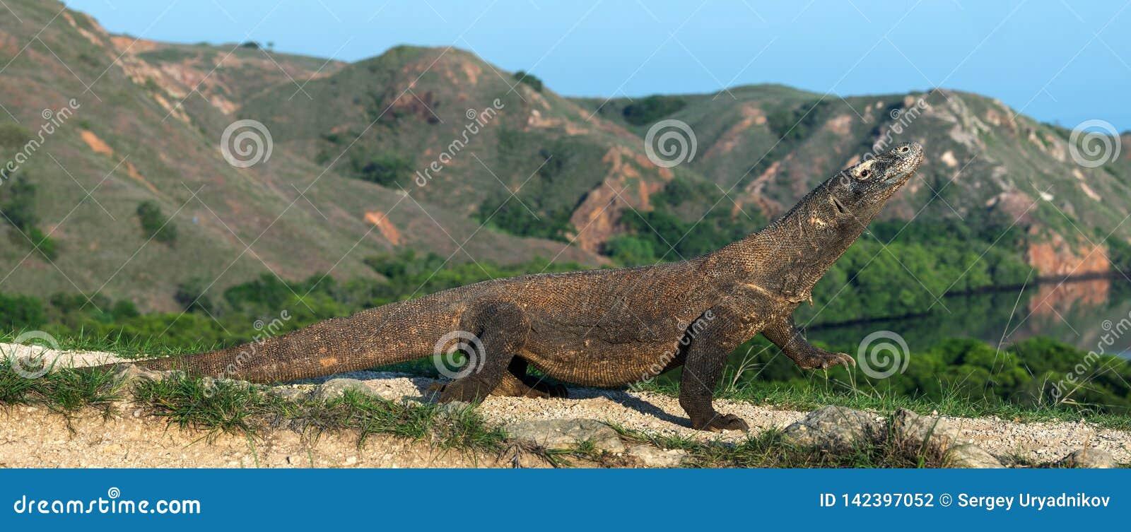 Дракон Komodo, научное имя: Komodoensis Varanus Индонезия
