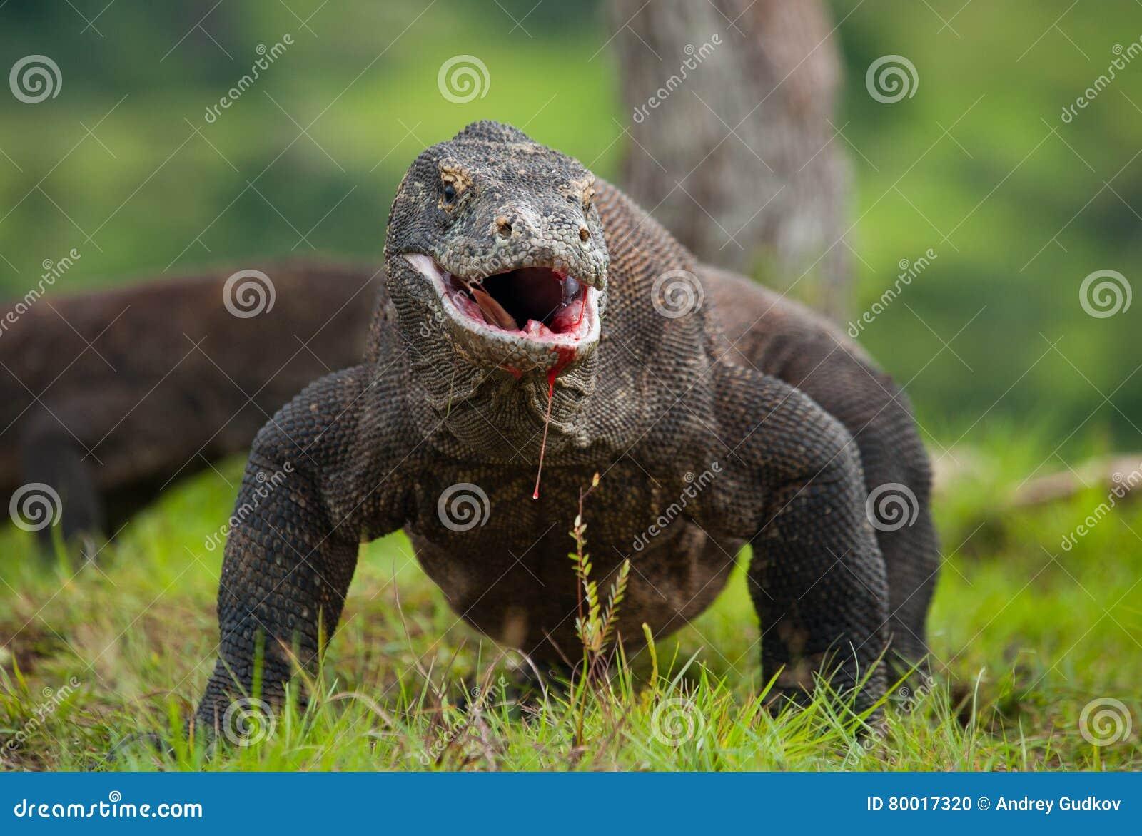 Дракон Komodo на том основании Индонезия Национальный парк Komodo