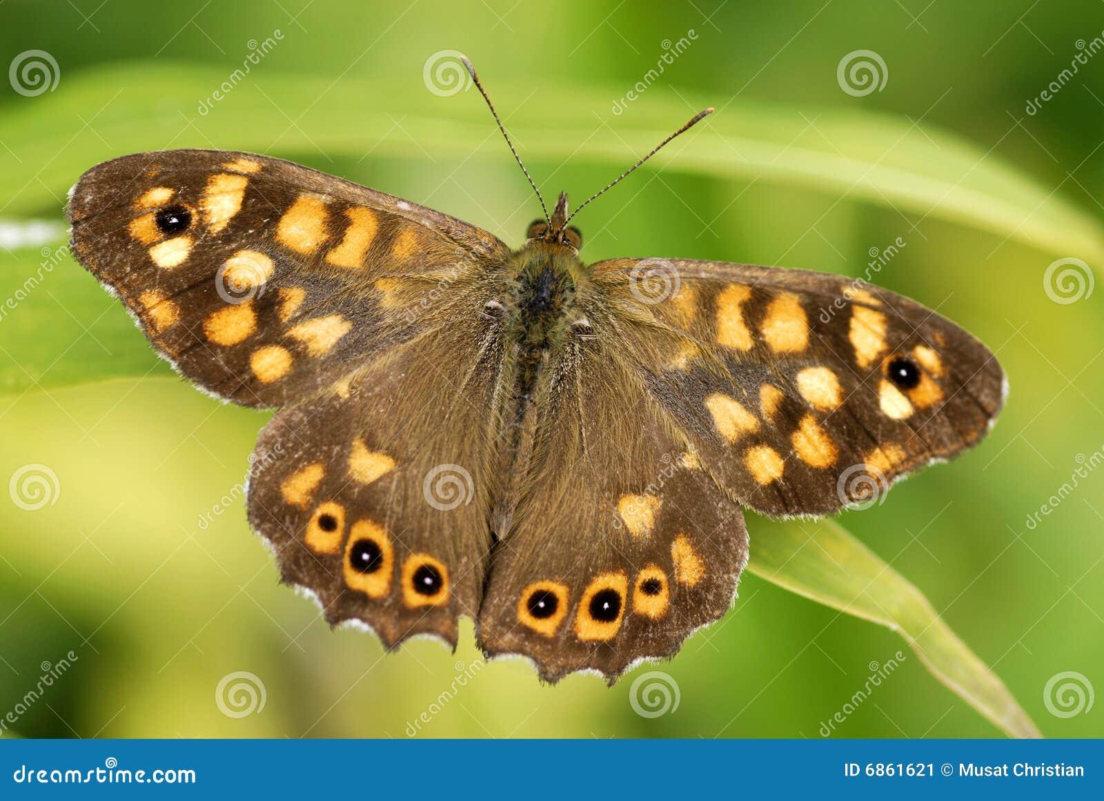 древесина запятнанная бабочкой