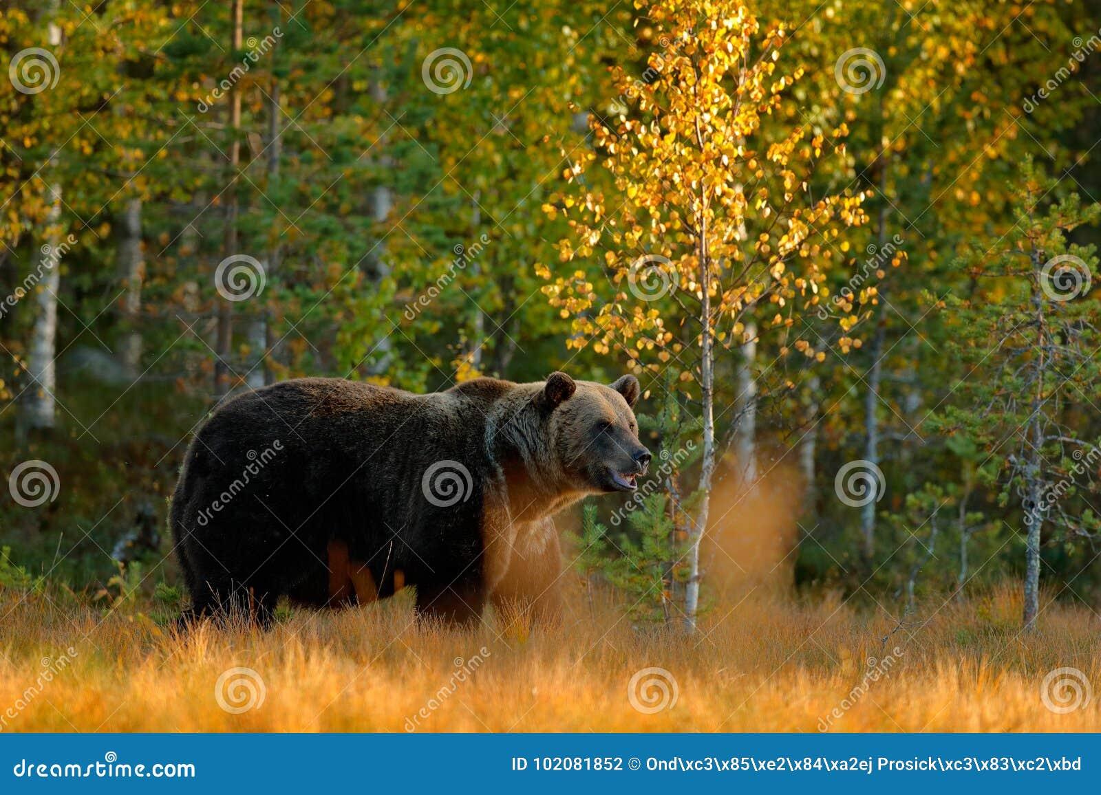 Древесина осени с медведем Красивый бурый медведь идя вокруг озера с цветами осени Опасное животное в среду обитания луга природы