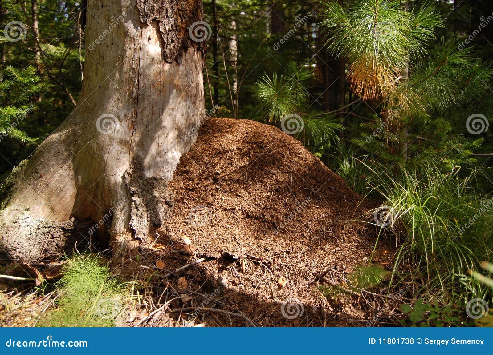 древесина холма муравея большая coniferous
