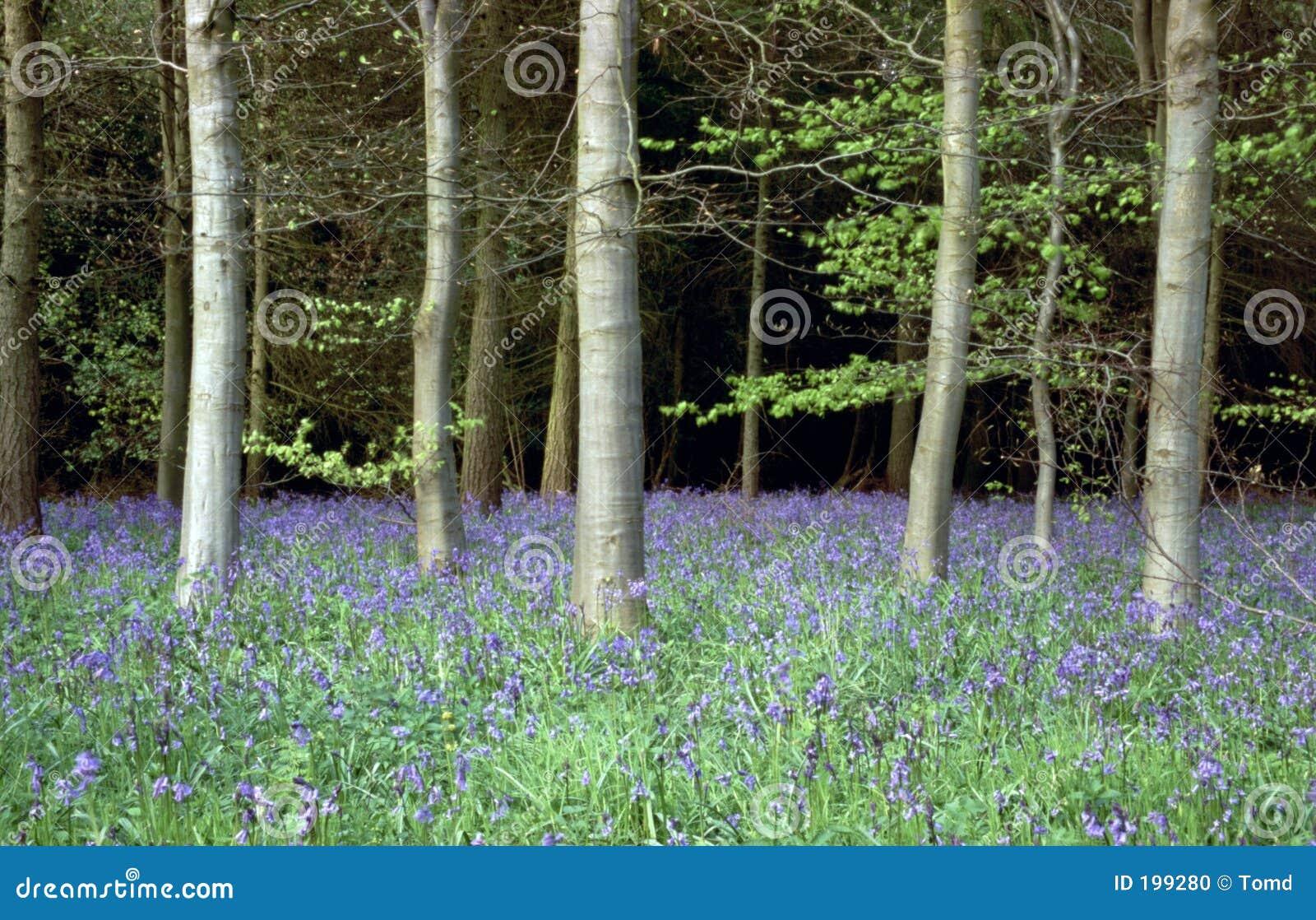 древесина bluebell