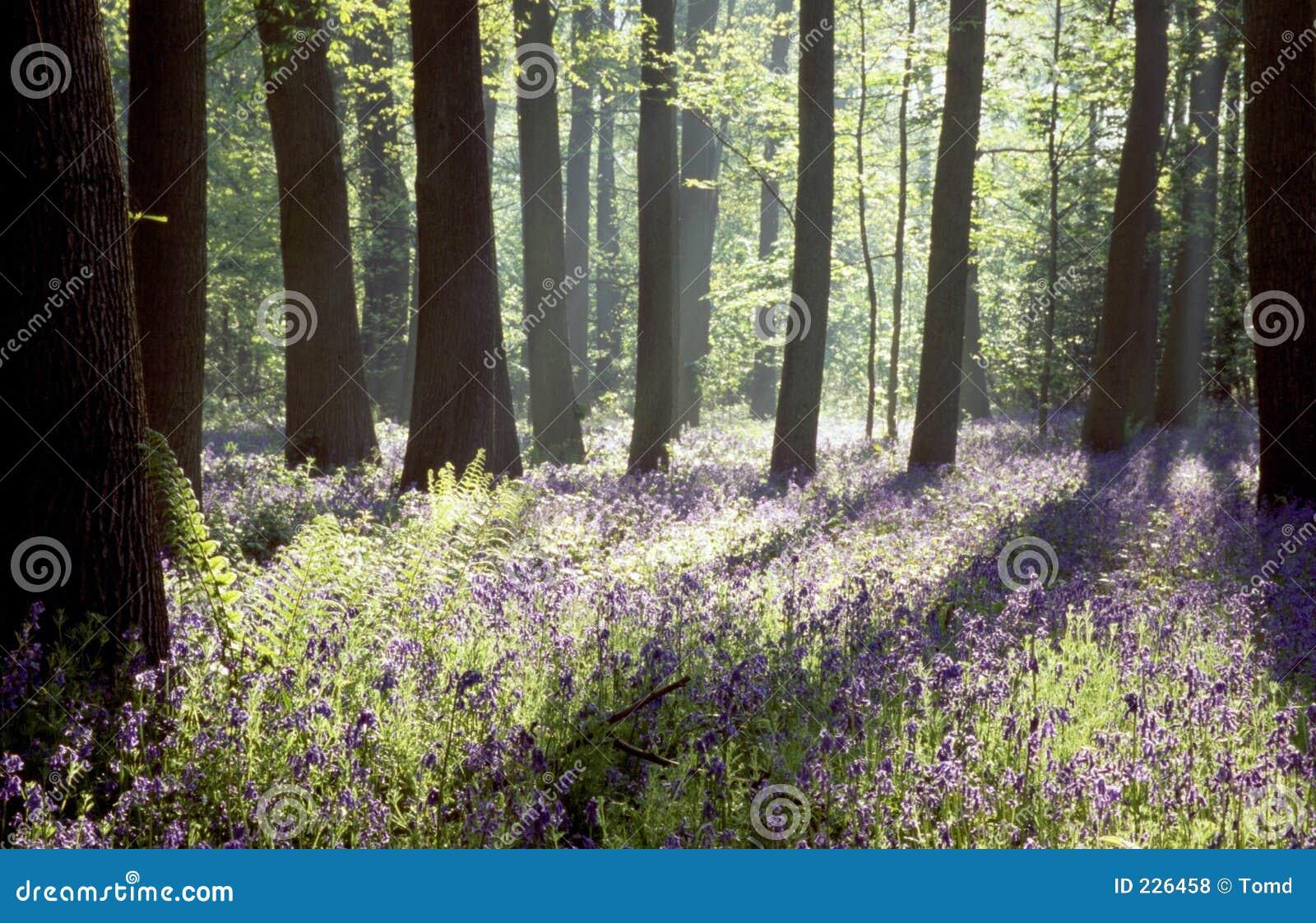 древесины bluebell