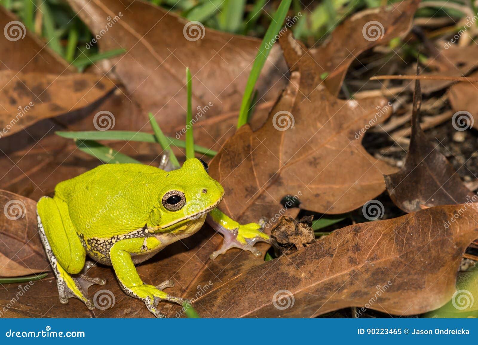 Древесная лягушка лаять