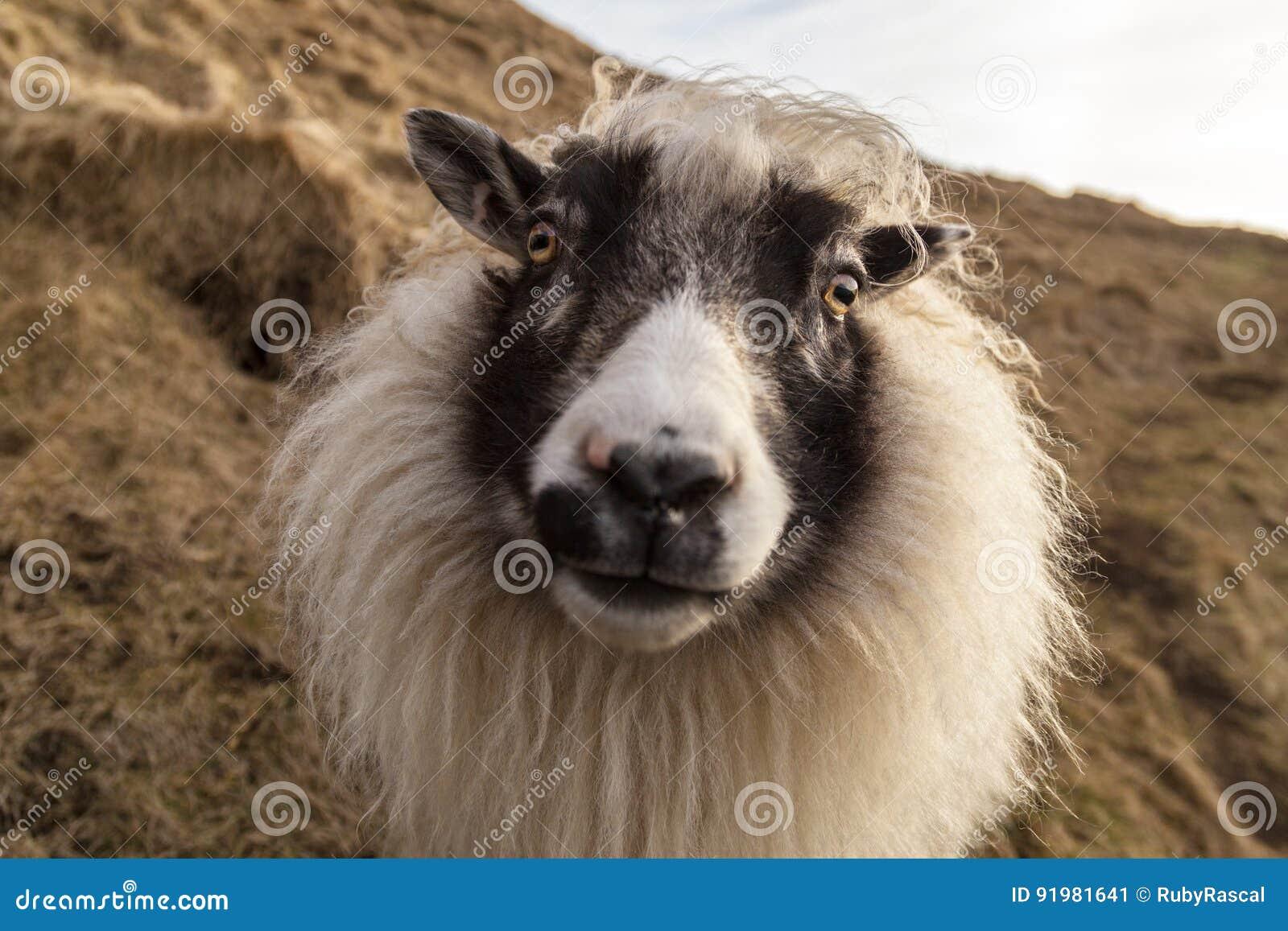 Дружелюбные белые и черные исландские овцы на склоне холма l