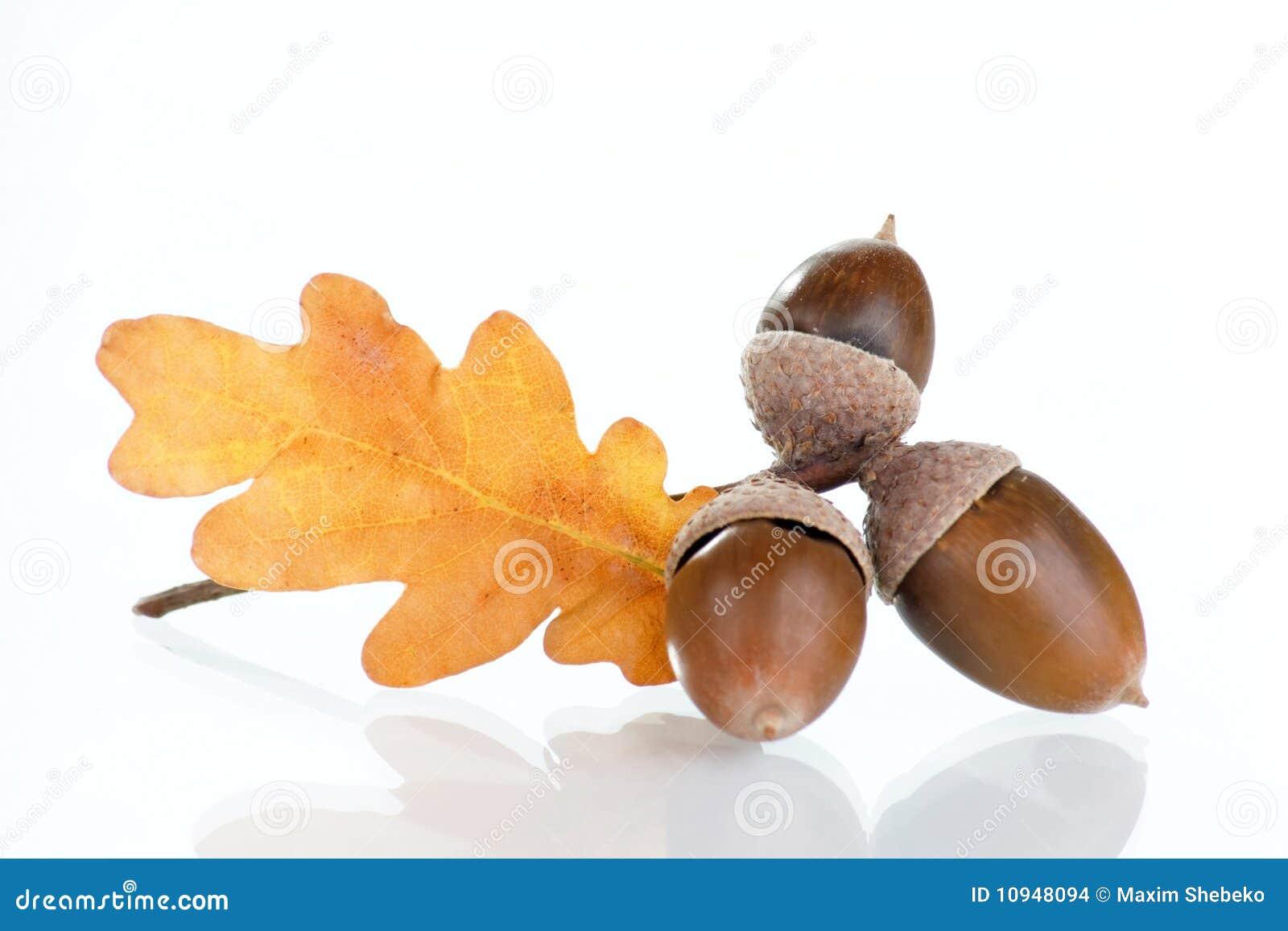 дуб листьев жолудей