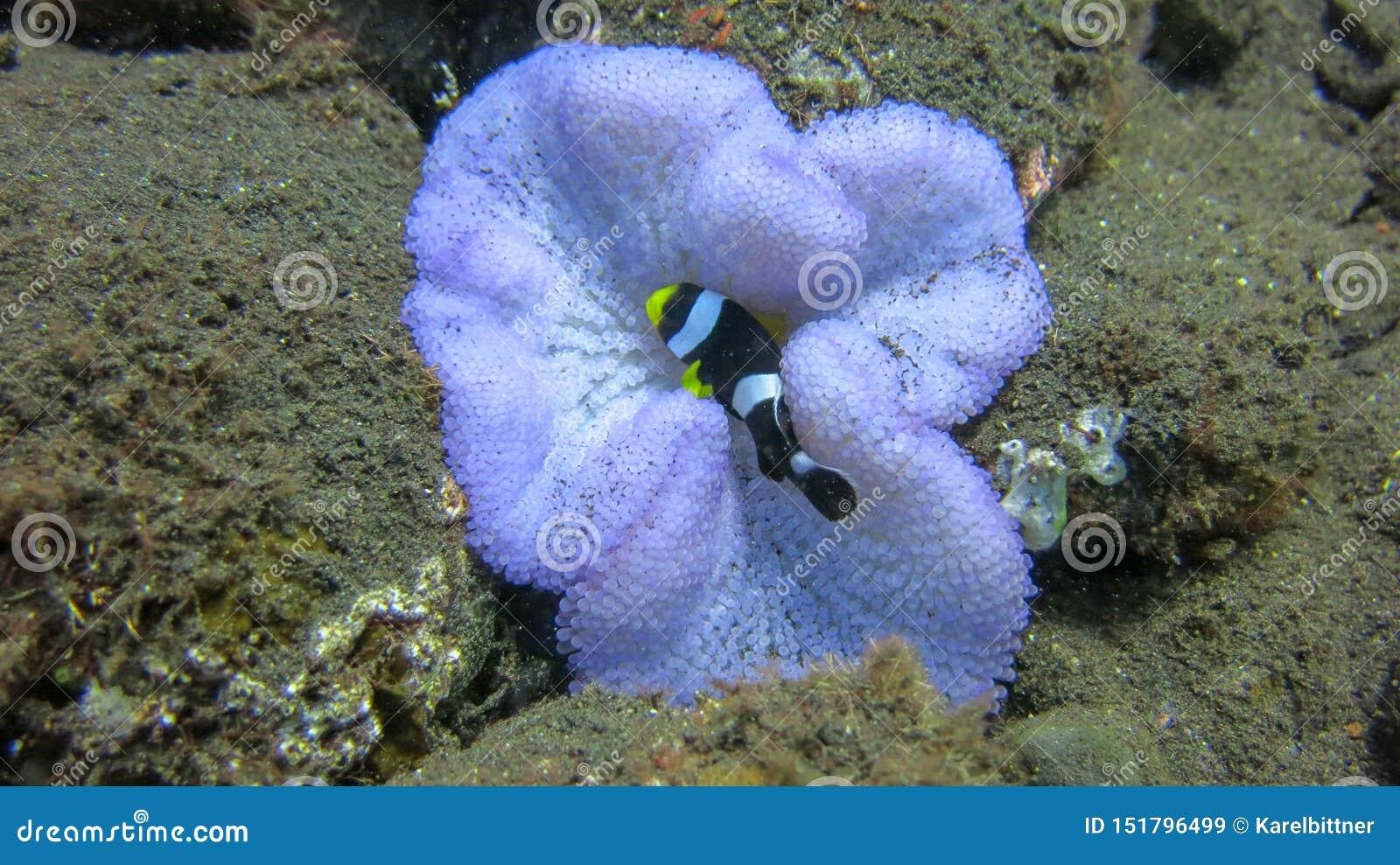 Дурачатся рыбы в пурпурной ветренице Amphiprion или клоун-рыбы в своем естественном доме - ветреница