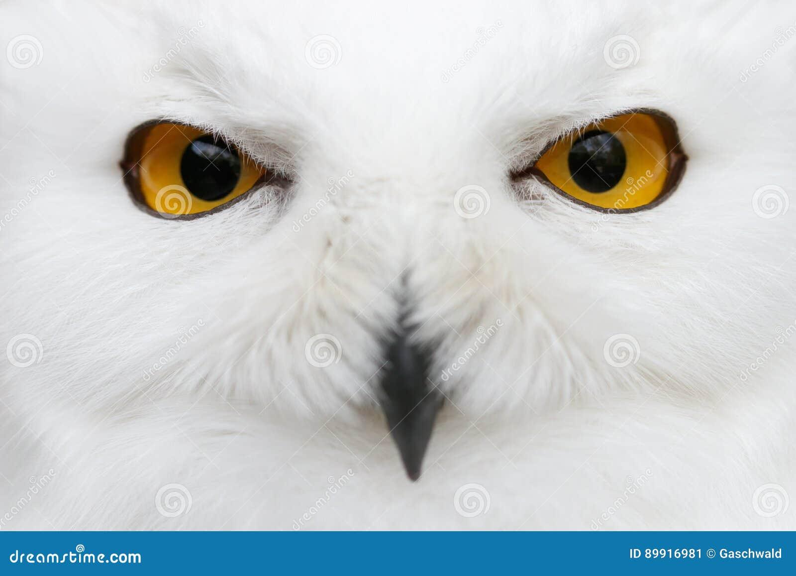 Дурные глазы снега - por конца-вверх scandiacus Bubo сыча Snowy