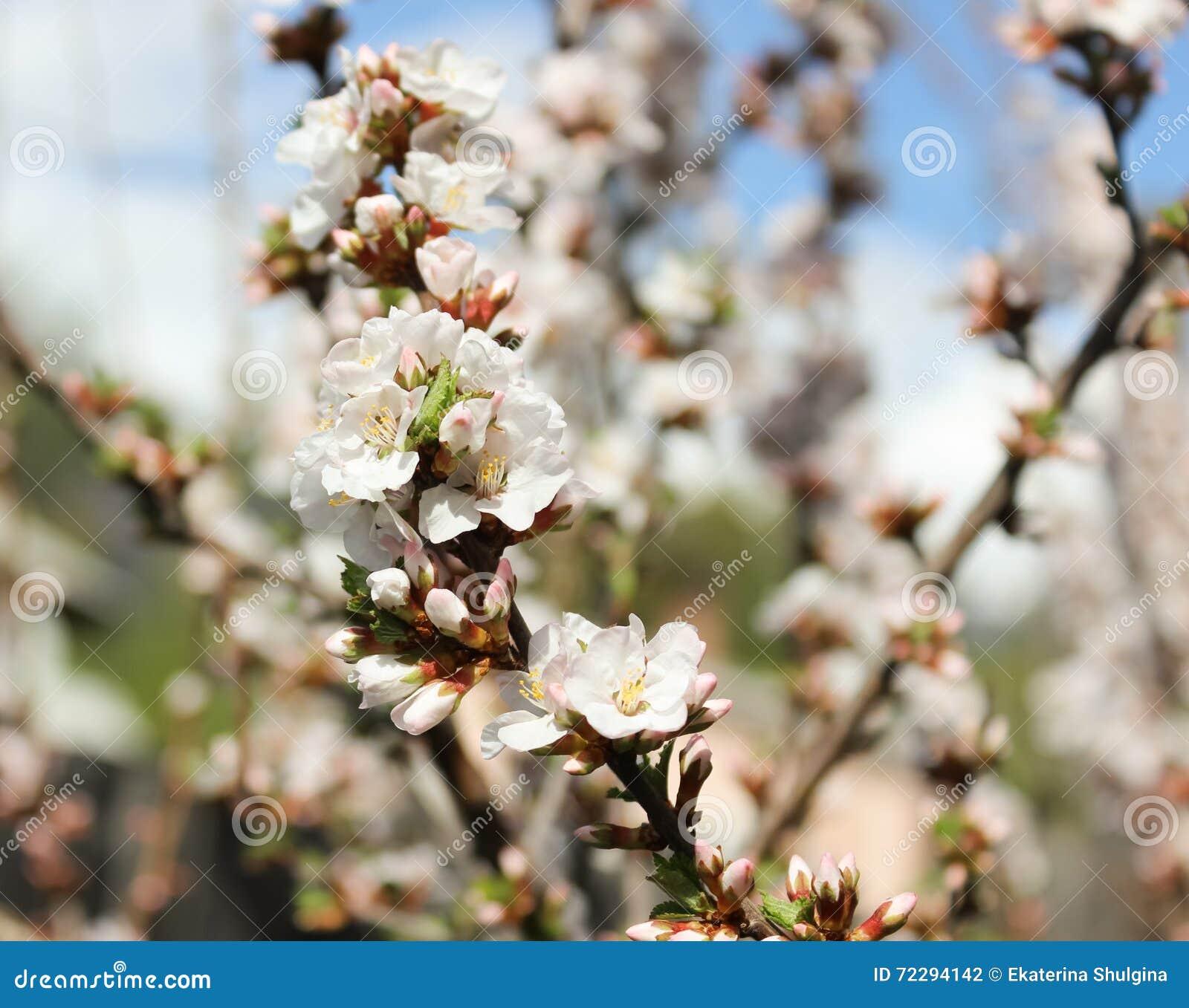 Download Душистая вишня стоковое фото. изображение насчитывающей цветок - 72294142
