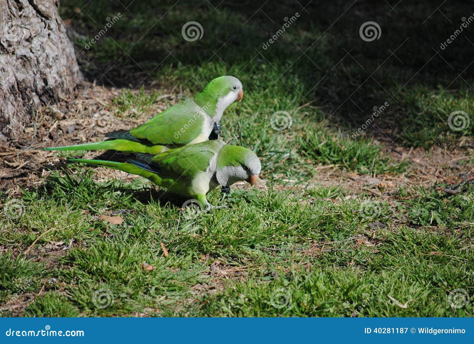 Длиннохвостый попугай монаха