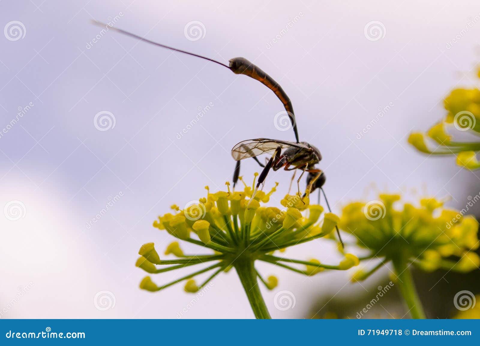 Длинн-уплотненная оса выпивает нектар от желтого цветка
