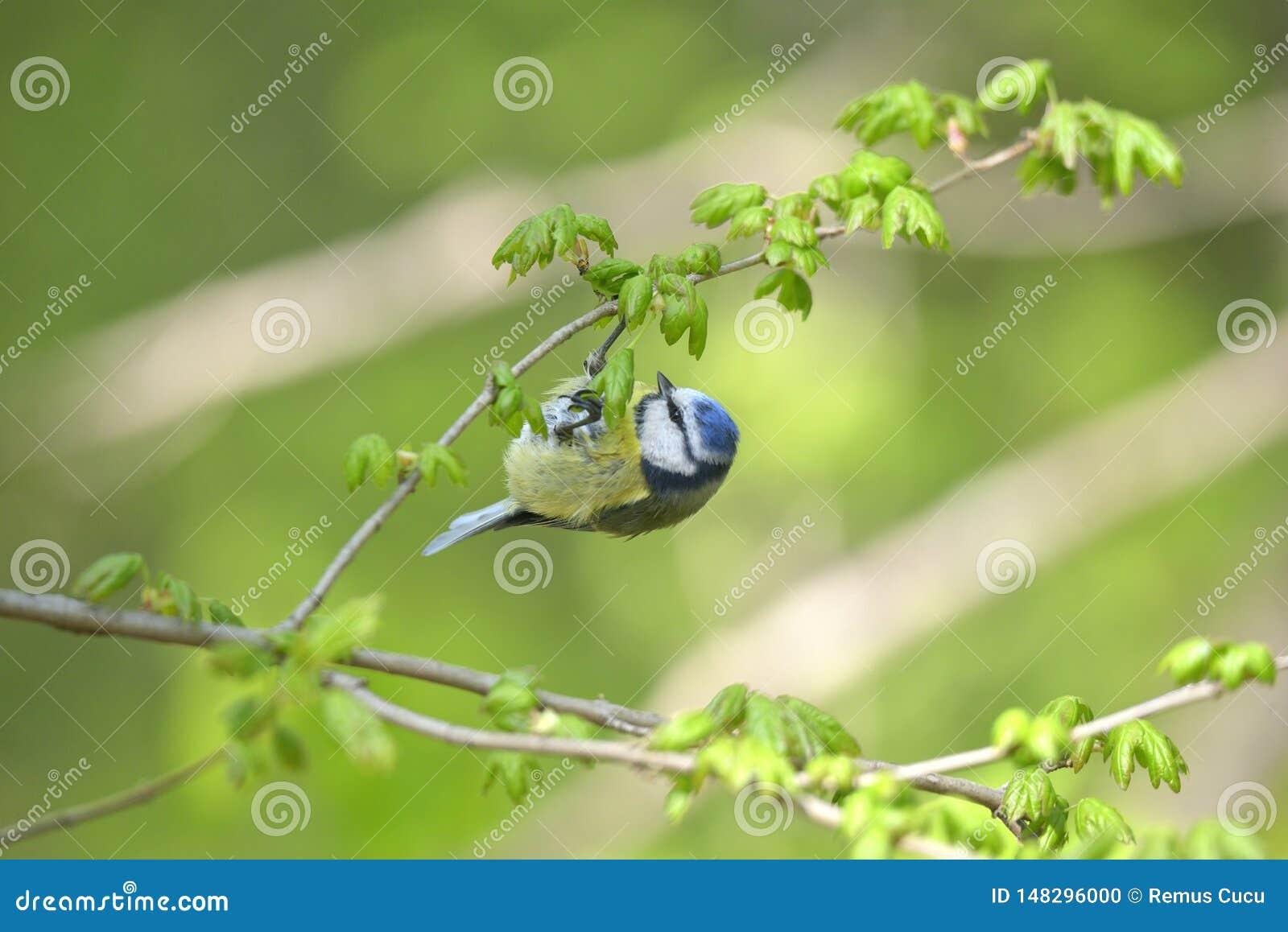 Евроазиатское caeruleus Cyanistes голубой синицы