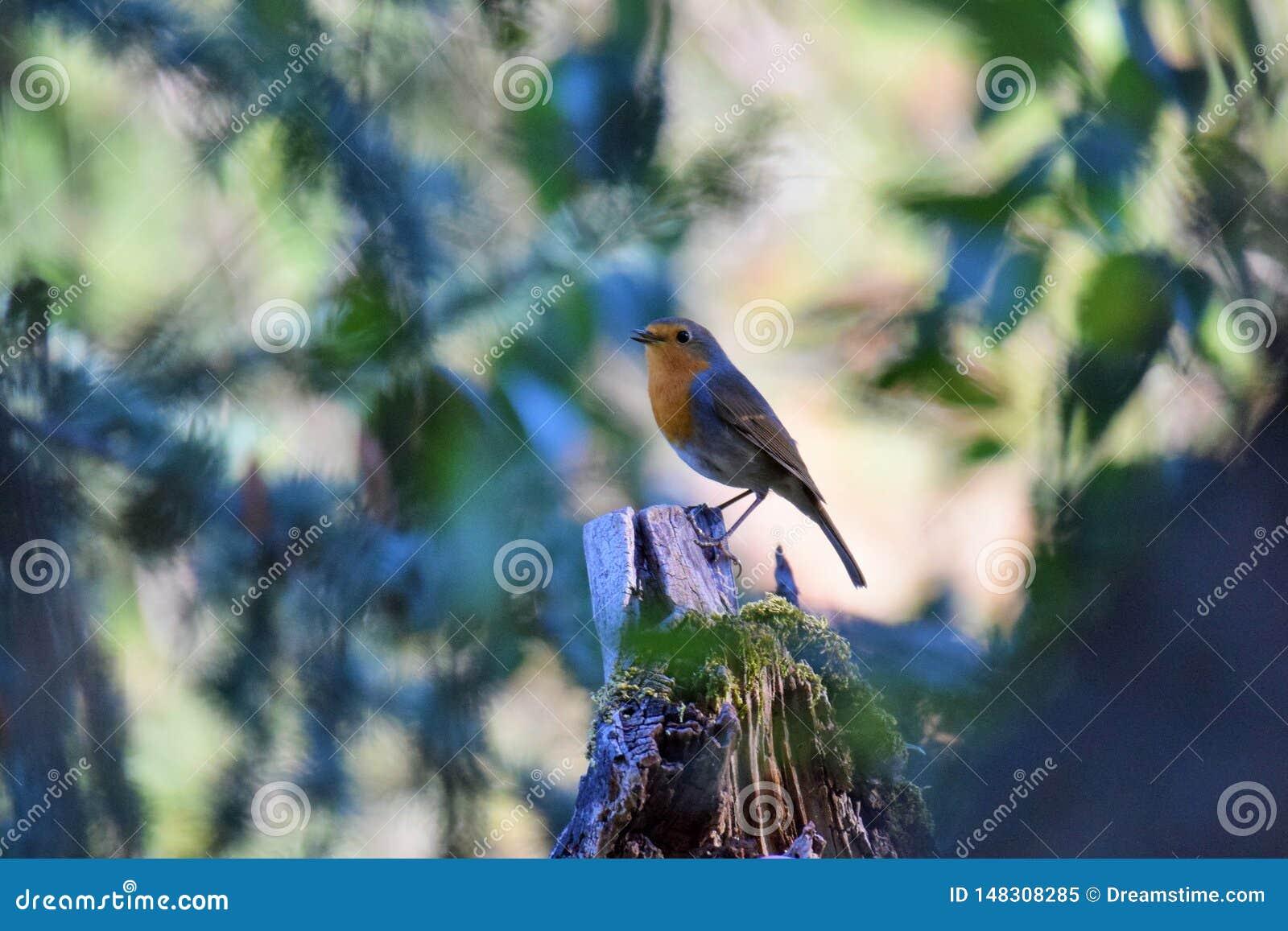 Европеец Робин на ветви дерева