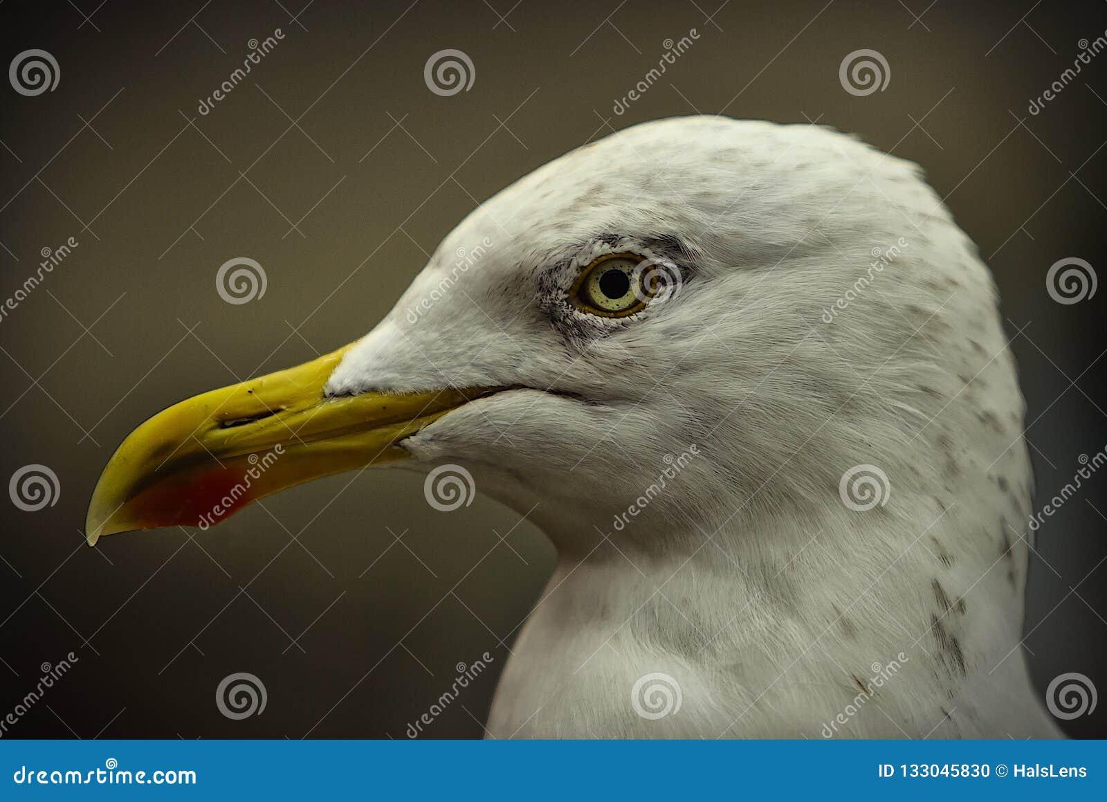 европейские сельди чайки