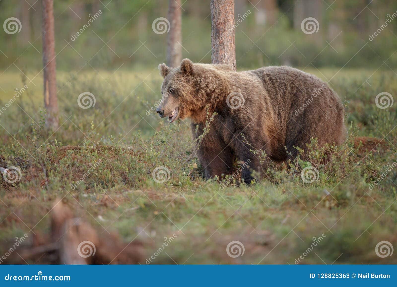 Европейский бурый медведь, Финляндия