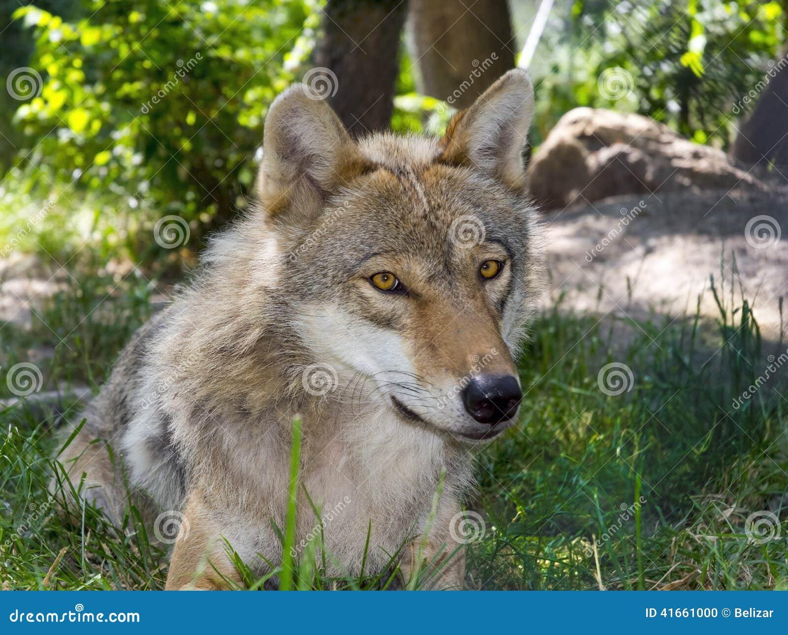 Европейский серый волк (волчанка волчанки волка)