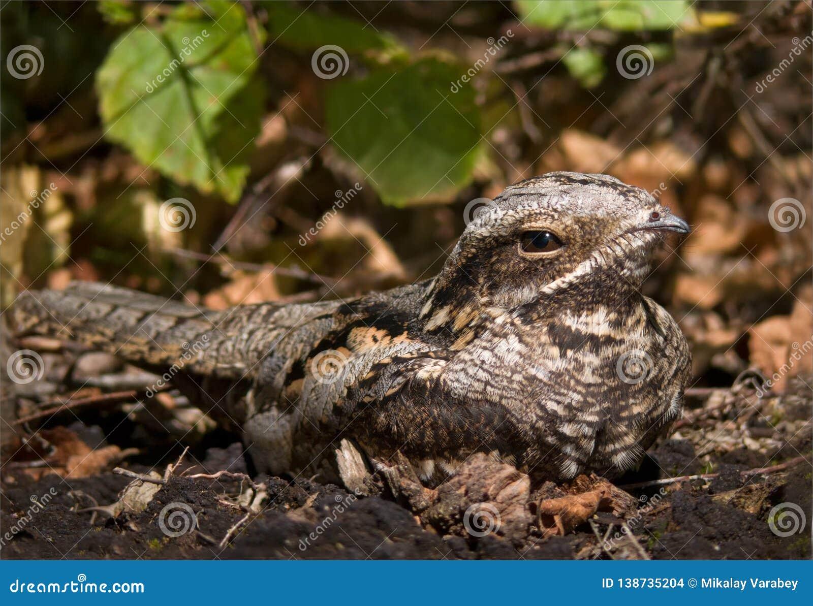 Европейский nightjar сидит на том основании с листьями