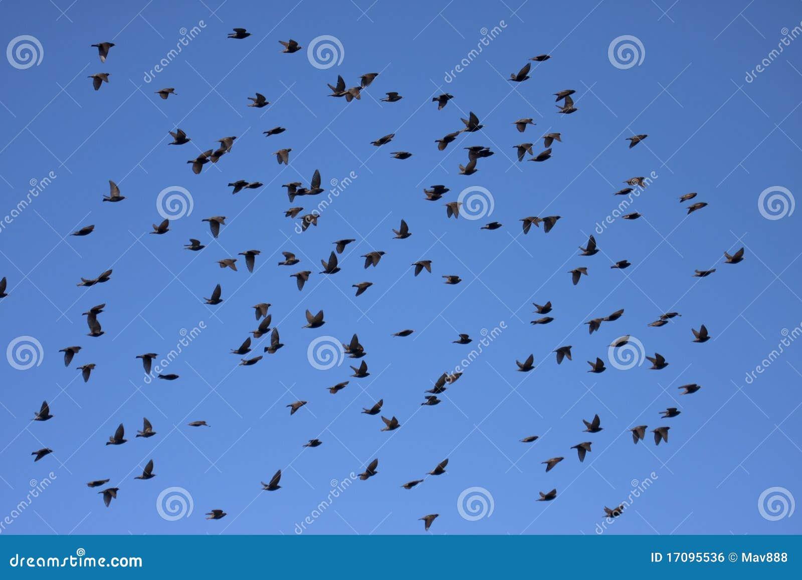 европейский starling