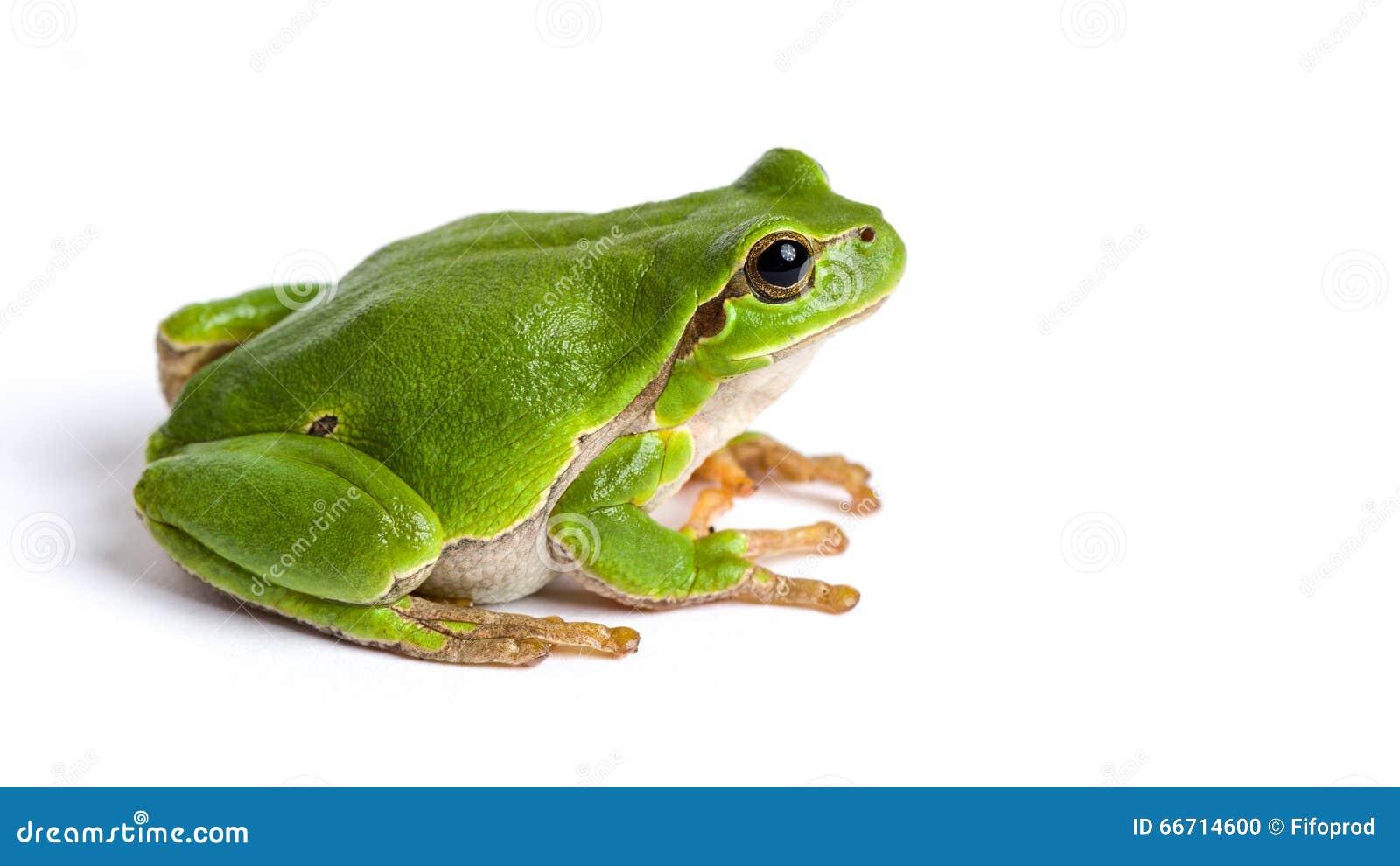 Европейское зеленое усаживание древесной лягушки изолированное на белизне