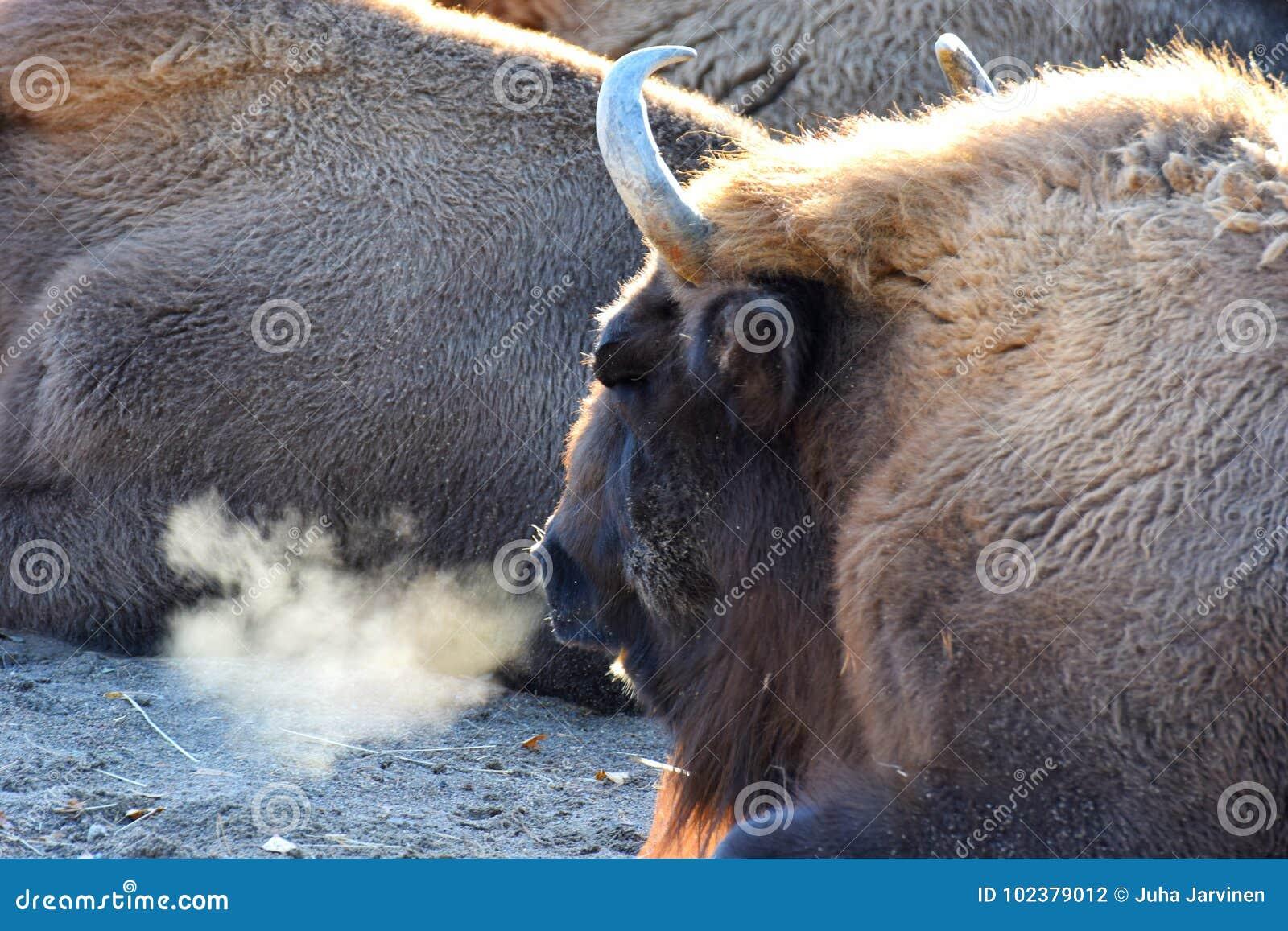 Европейское bonasus бизона бизонов