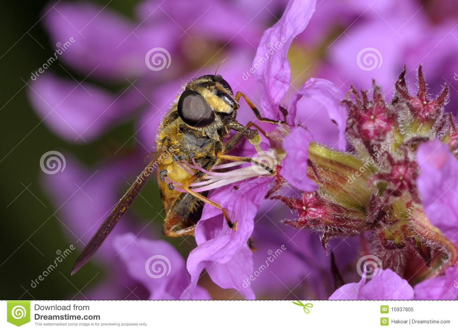 европейское helophilus pendulus hoverfly