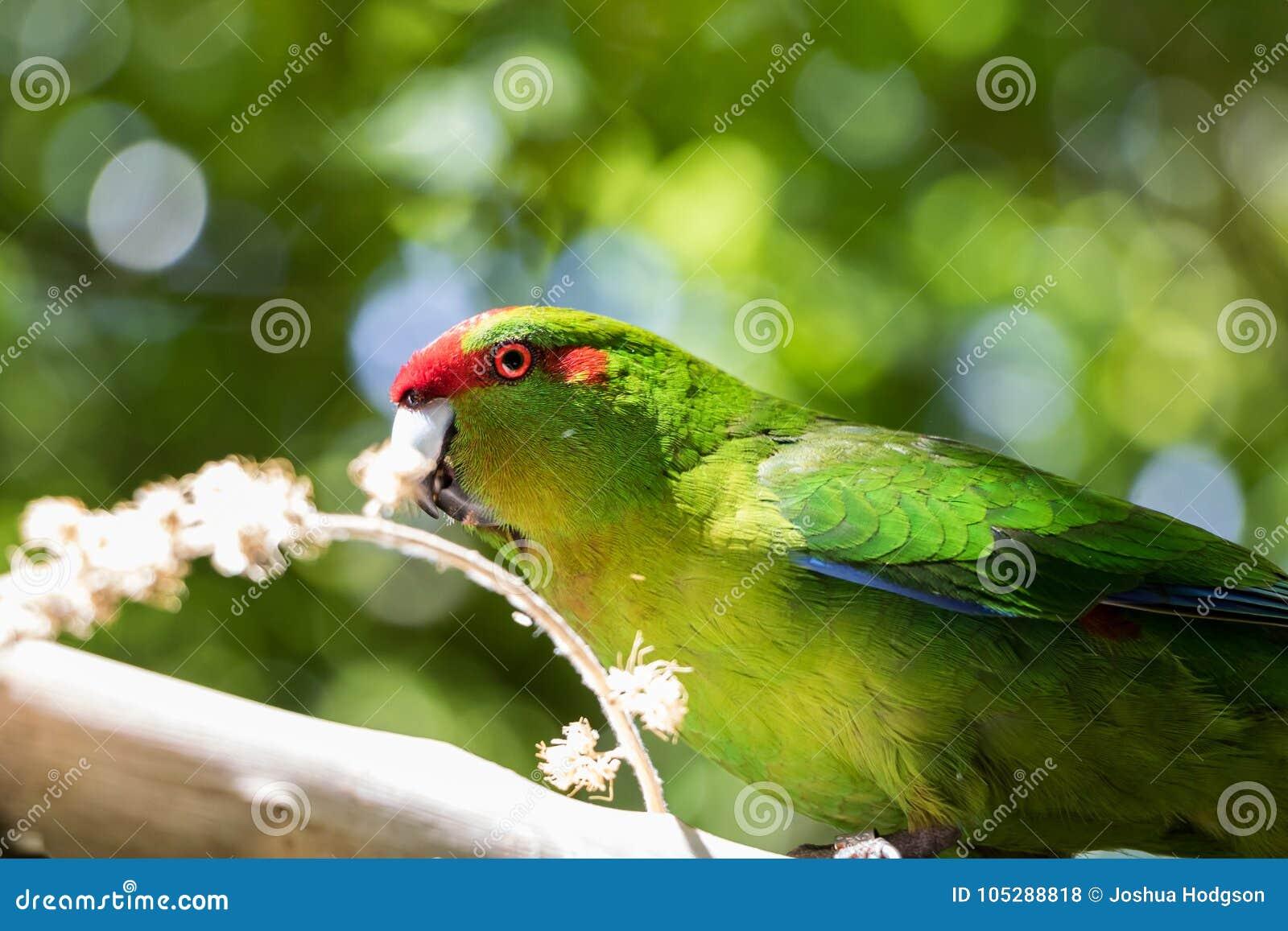 Еда длиннохвостого попугая зеленого цвета Kakariki