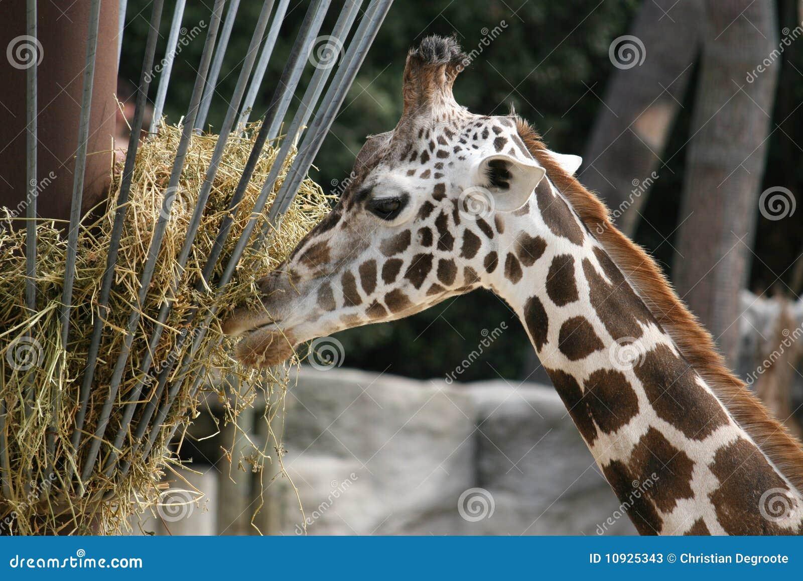 еда giraffe