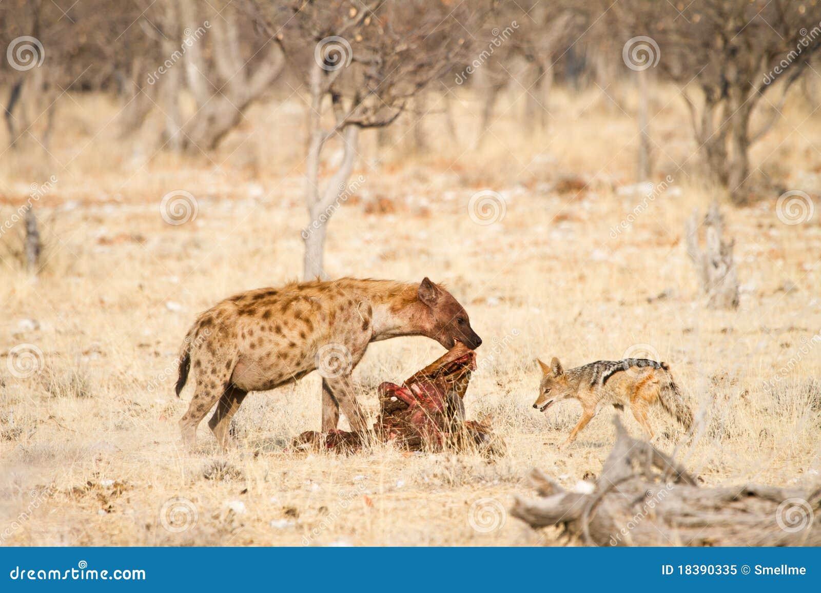 еда jackal hyaena