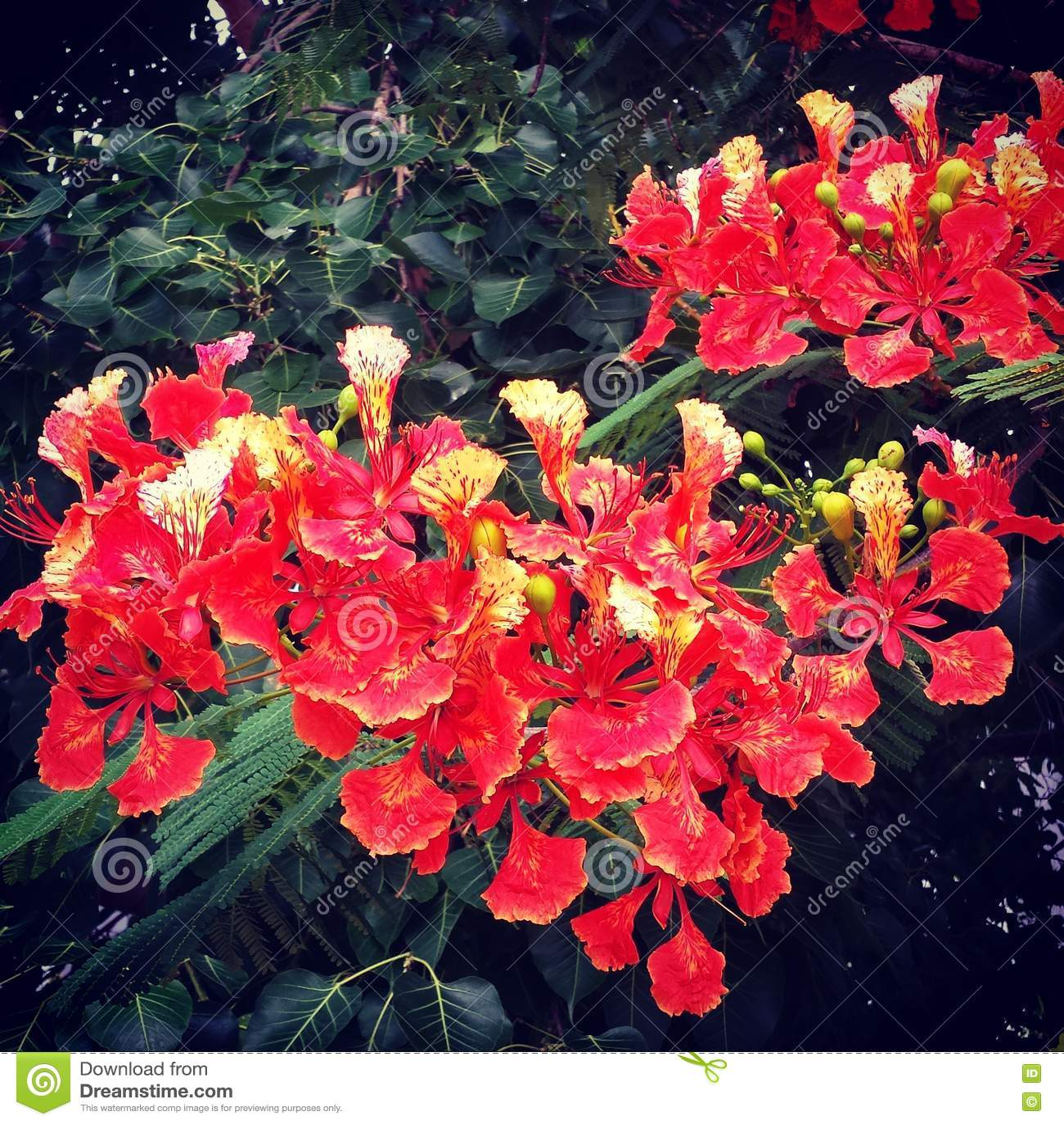 дерево с красными цветками в Азии