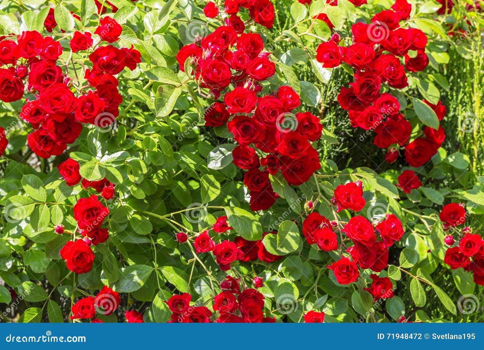 Естественная красная предпосылка rosebush