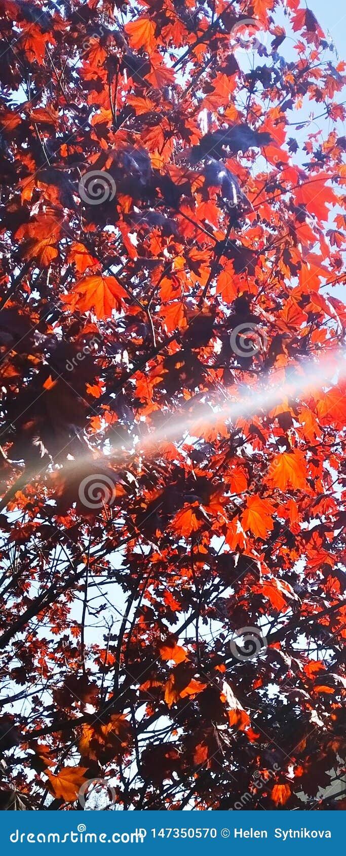 Естественная предпосылка, красные кленовые листы и солнечный луч