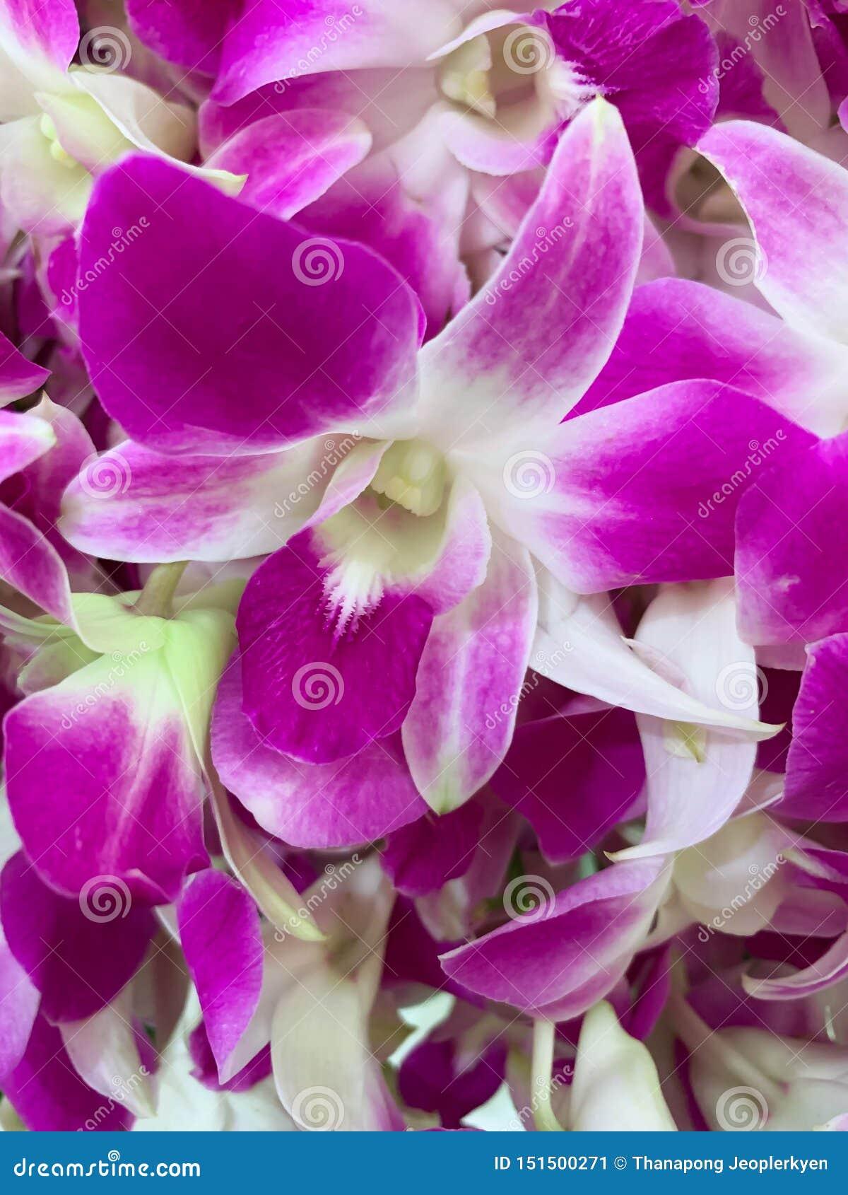 Естественная тайская предпосылка текстуры орхидеи