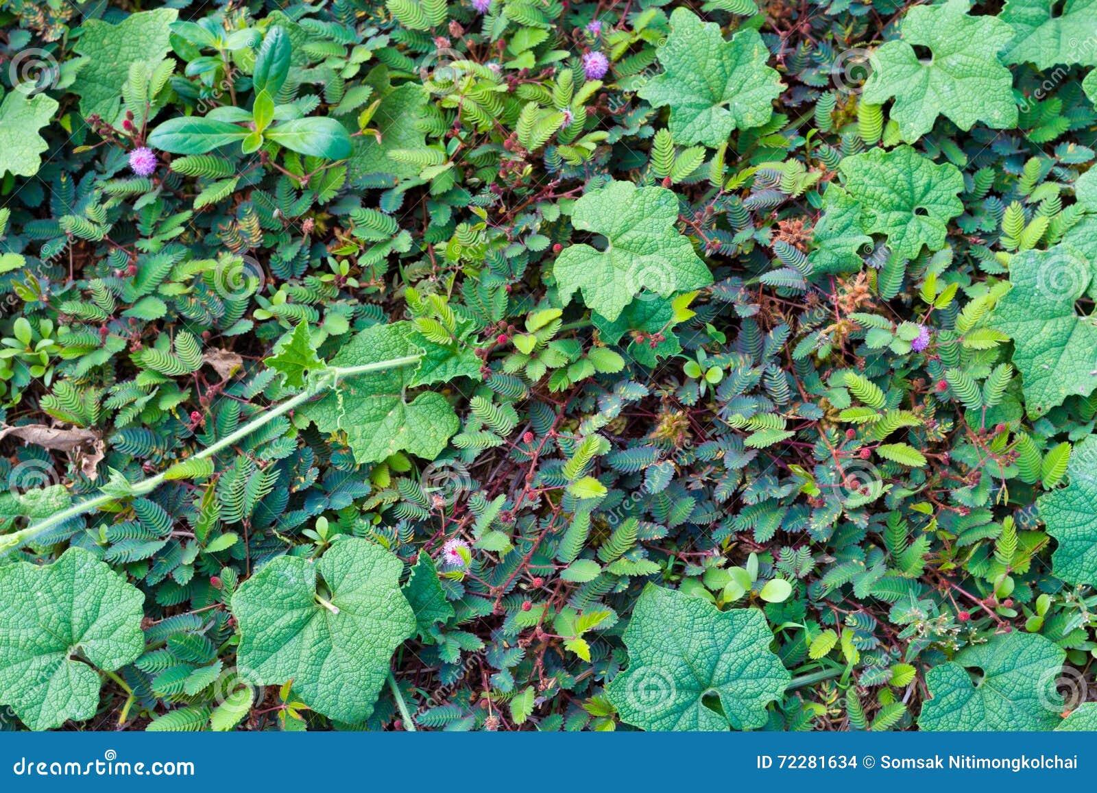 Download Естественная тыква плюща с зеленым цветом выходит Backg природы чувствительного завода Стоковое Фото - изображение насчитывающей украшение, свобода: 72281634