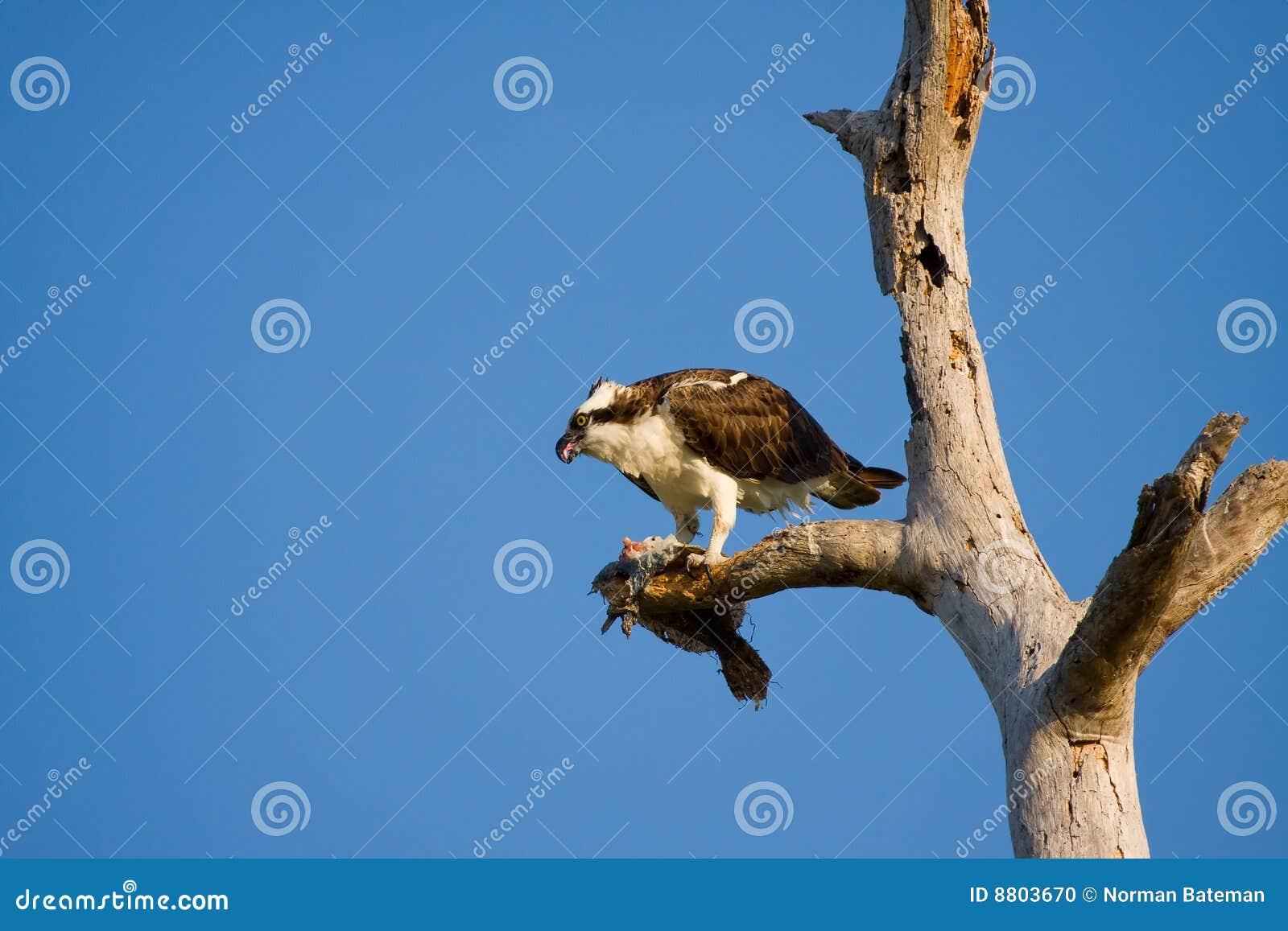 ест osprey flounder