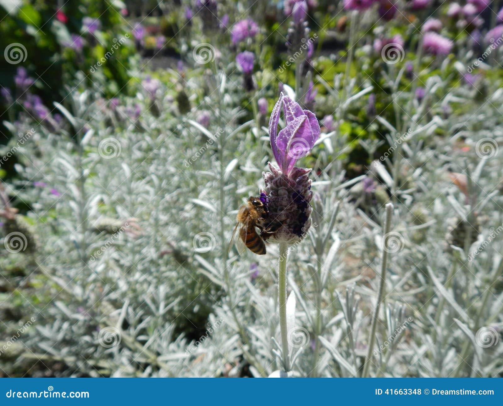 детализированный пчелой макрос изолированный медом штабелировал очень белизну