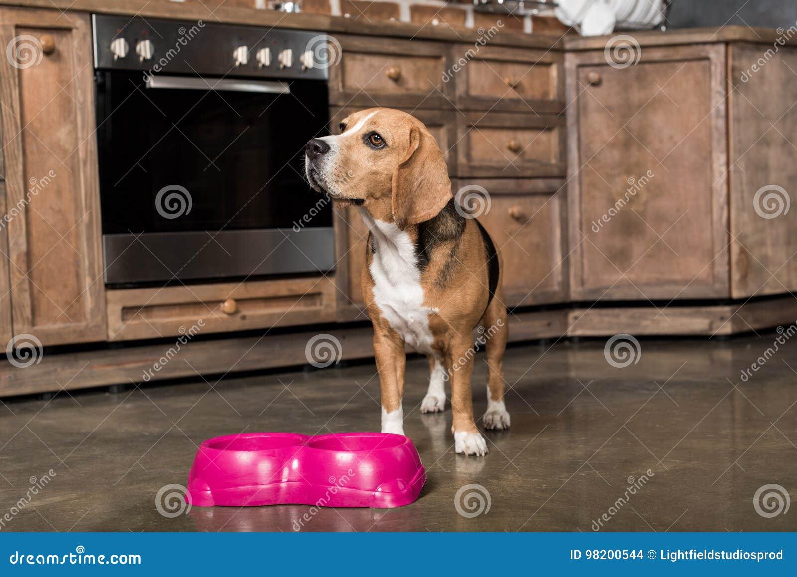 Download Еда собаки бигля ждать около розовых шаров в кухне Стоковое Фото - изображение насчитывающей чистоплемено, дом: 98200544