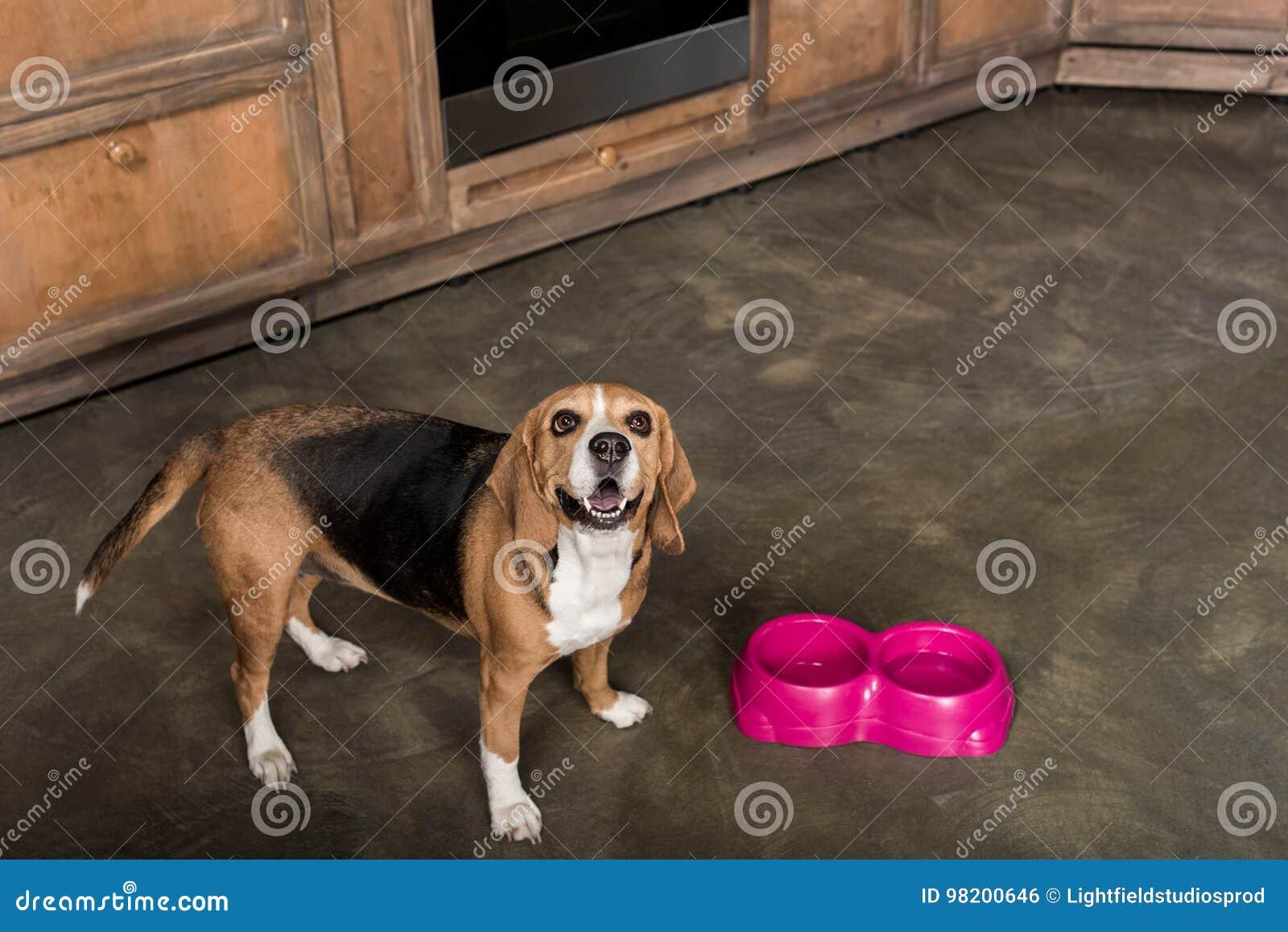 Download Еда собаки бигля ждать около розовых шаров в кухне Стоковое Фото - изображение насчитывающей собака, ждать: 98200646