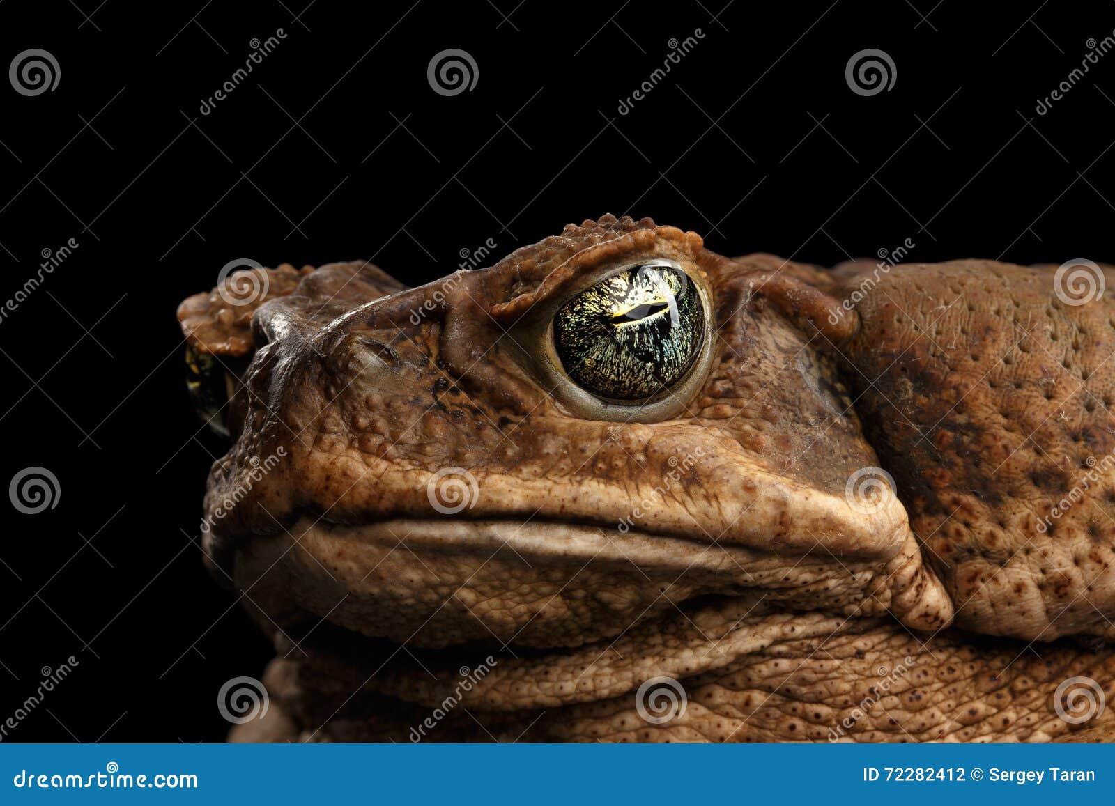 Download Жаба тросточки крупного плана - Bufo Marinus, гигантское Neotropical, морской, чернота Стоковое Фото - изображение насчитывающей мило, rica: 72282412