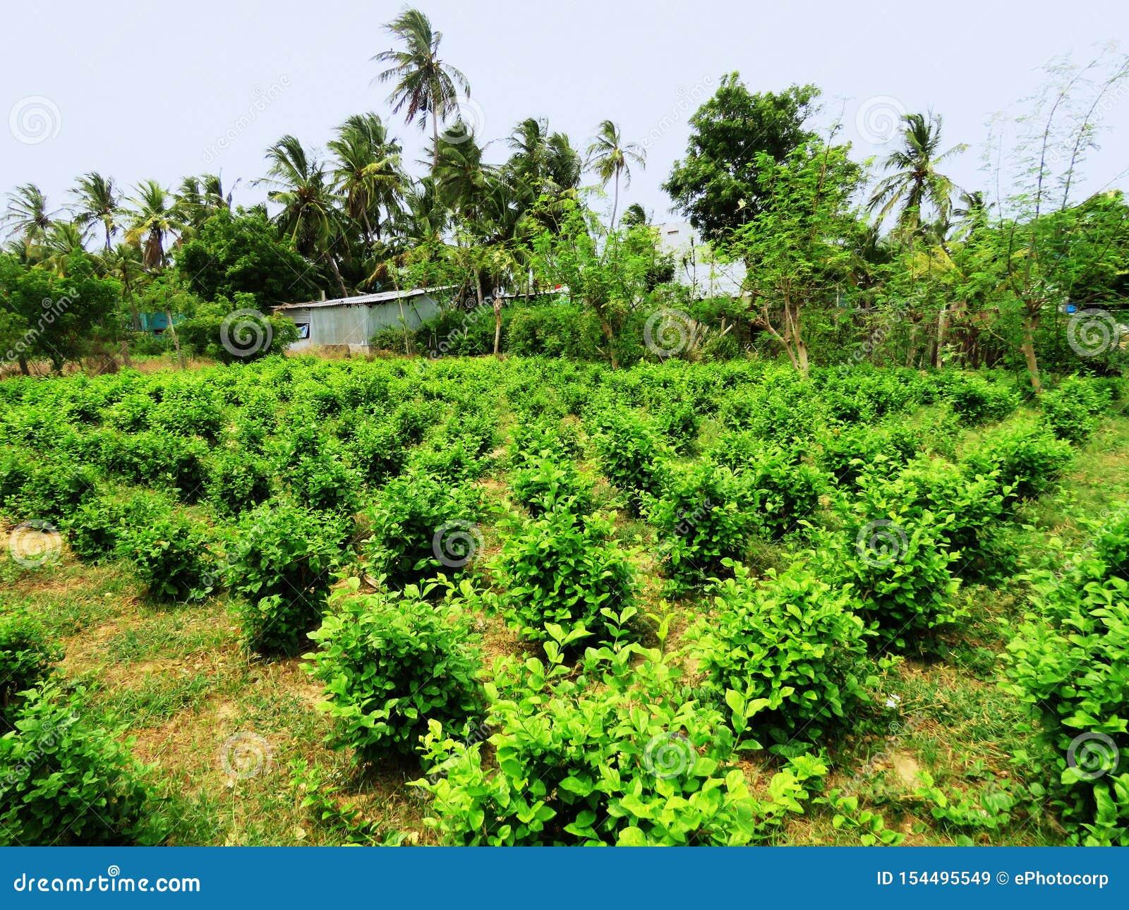 Жасмин, sambac Jasminum, культивирование, залив запаса биосферы Mannar, Tamil Nadu, Индии