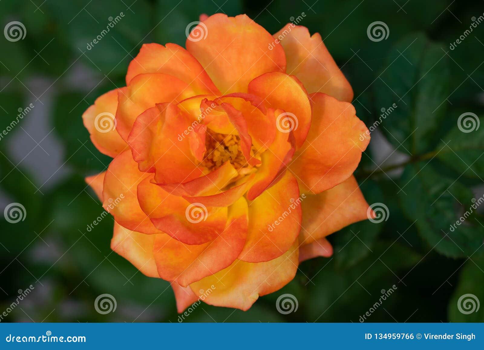 Желтая розовая смешанная роза зацветая в саде