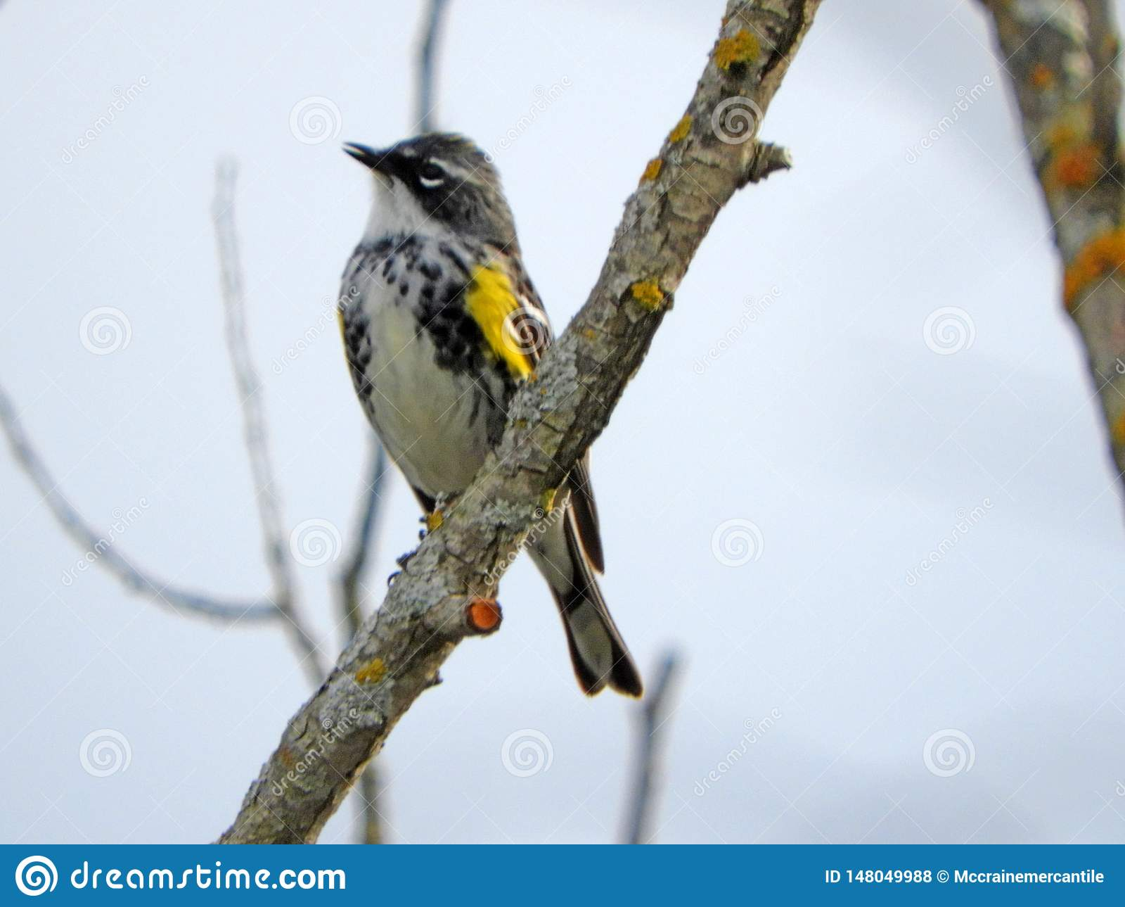 Желтая-rumped певчая птица на ветви болота