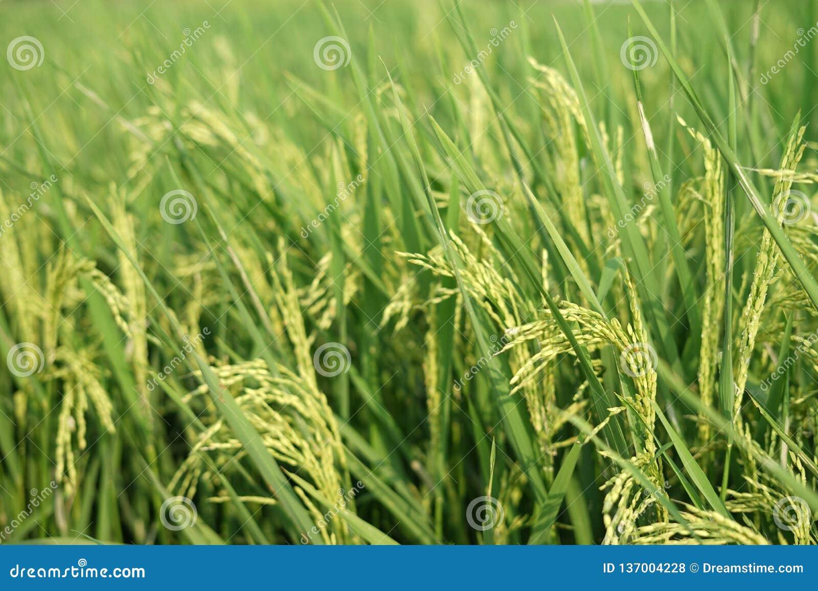 Желтея рис в полях