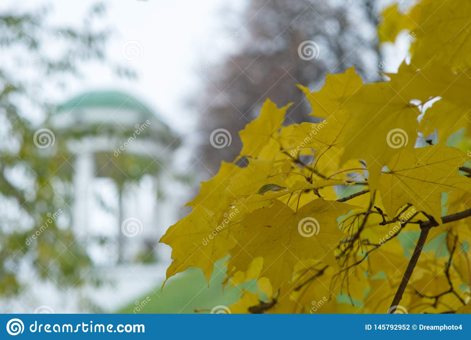 Желтые кленовые листы