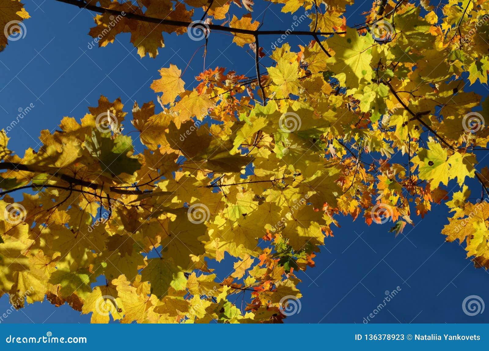 Желтые кленовые листы осени против голубого неба