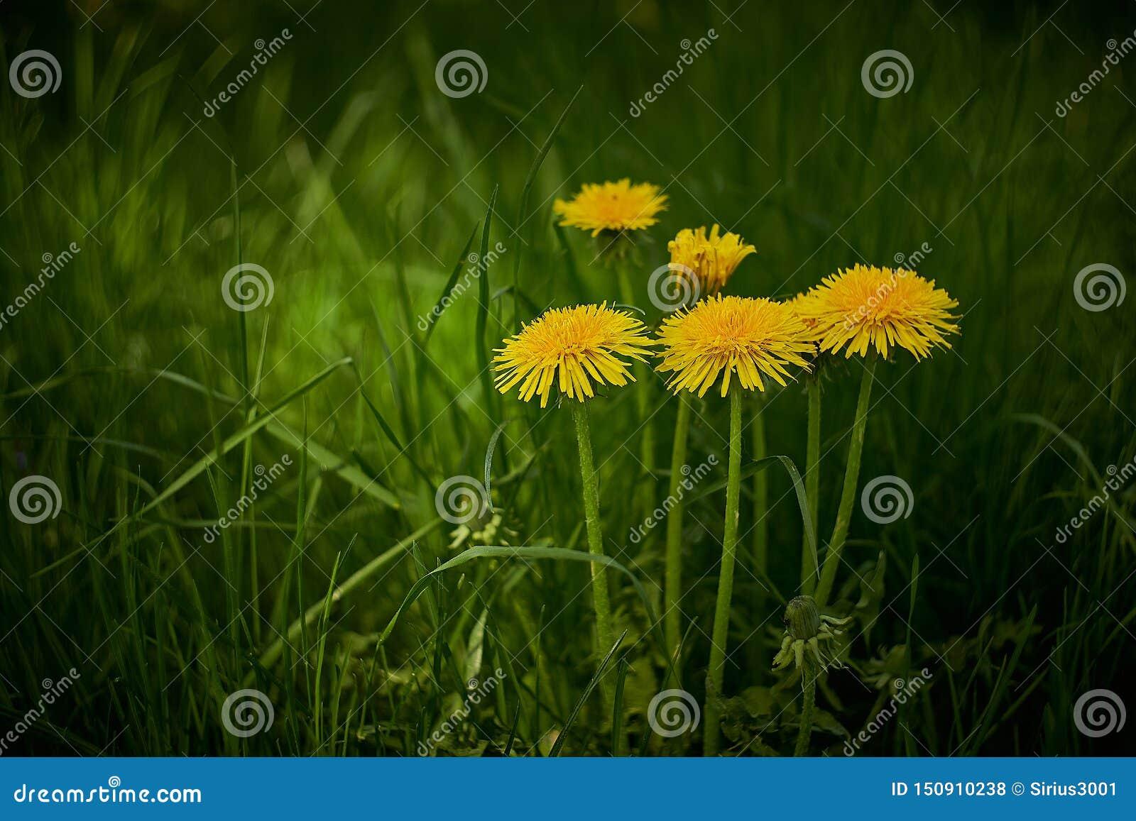 Желтые одуванчики в зеленой траве