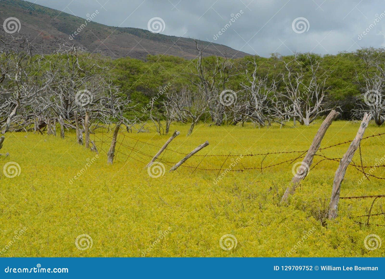 Желтые поле и загородка на Молокаи