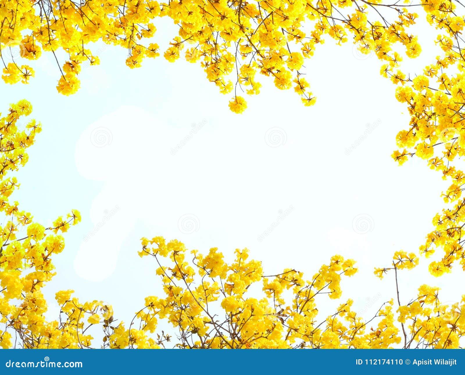 Желтые цветки на белой предпосылке для обрамлять