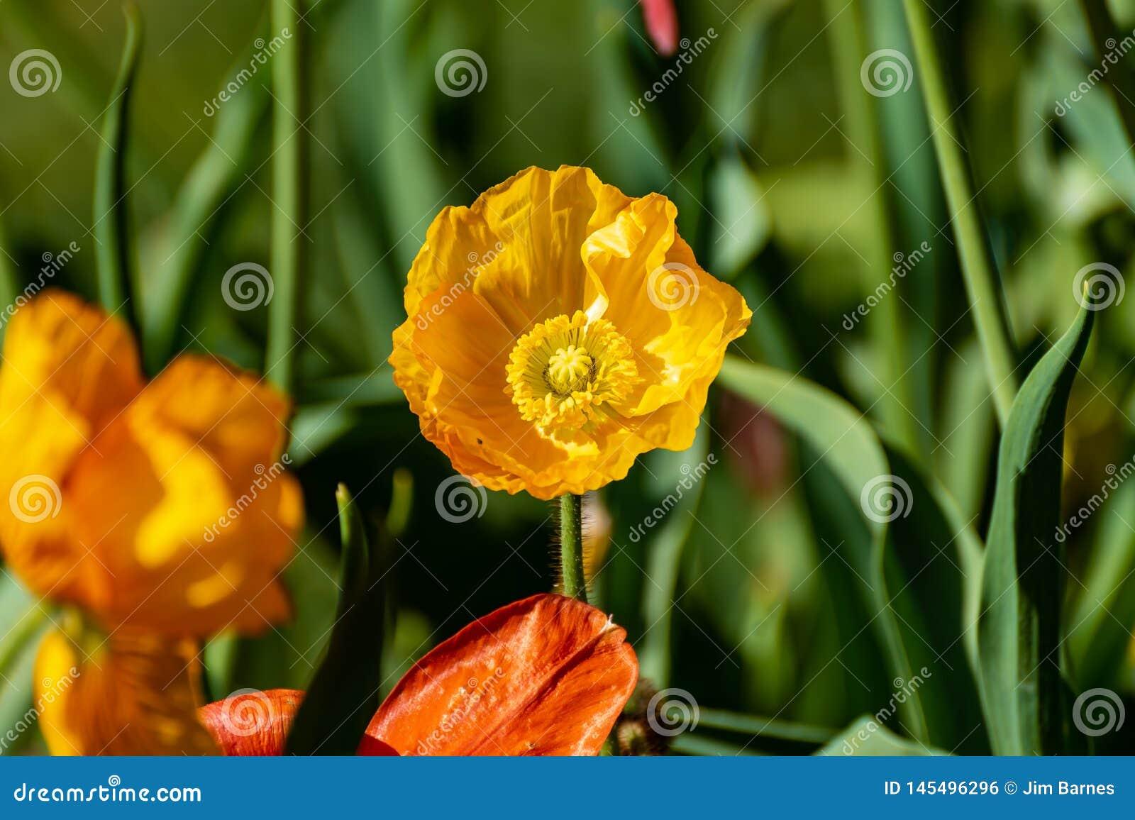 Желтые цветки с зеленой предпосылкой весной