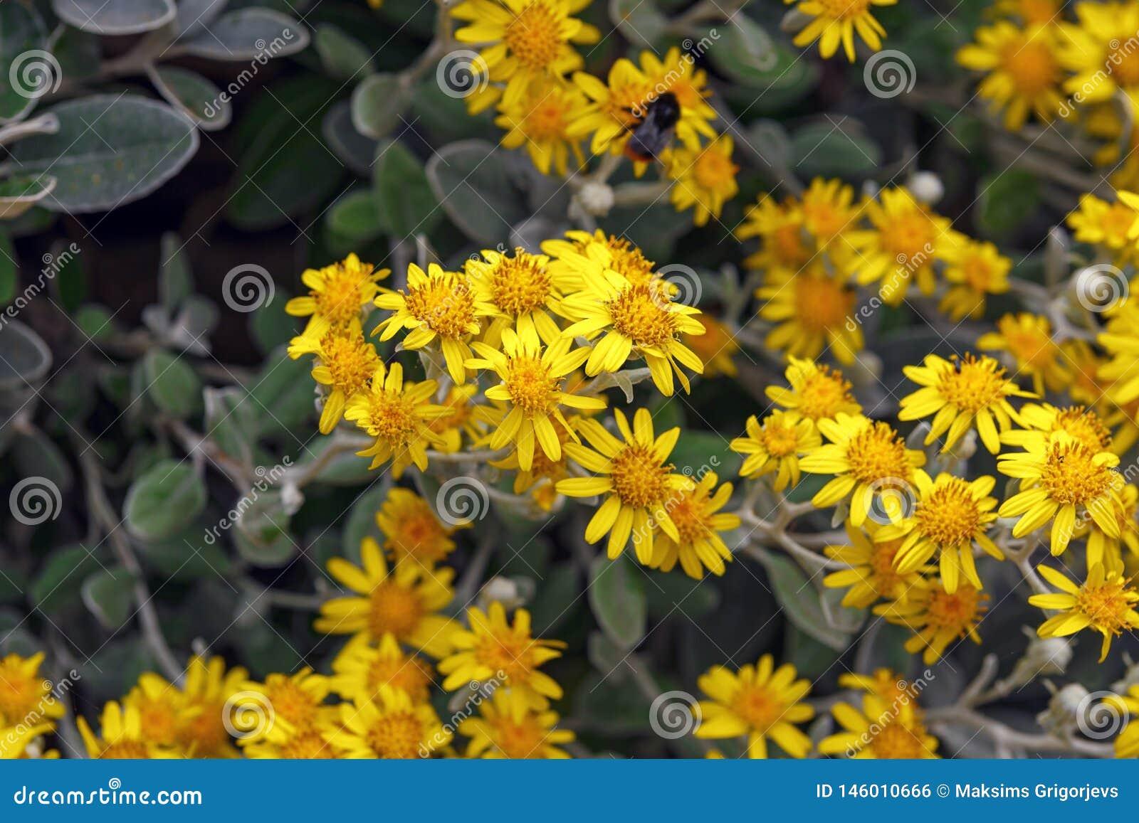 Желтые цветки greyi Brachyglottis, также вызвали greyi Senecio, с общим кустом маргаритки имени