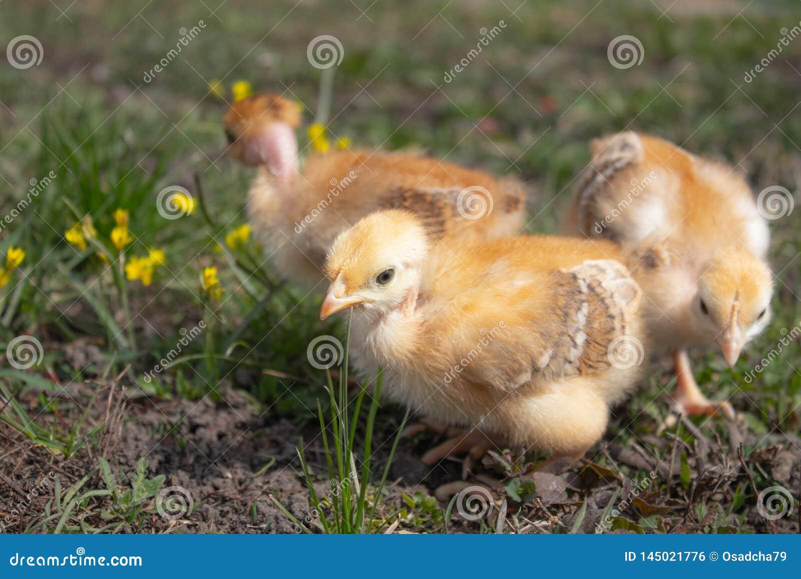 Желтые цыпленоки на поле или лужайке травы для дизайна и концепции украшения